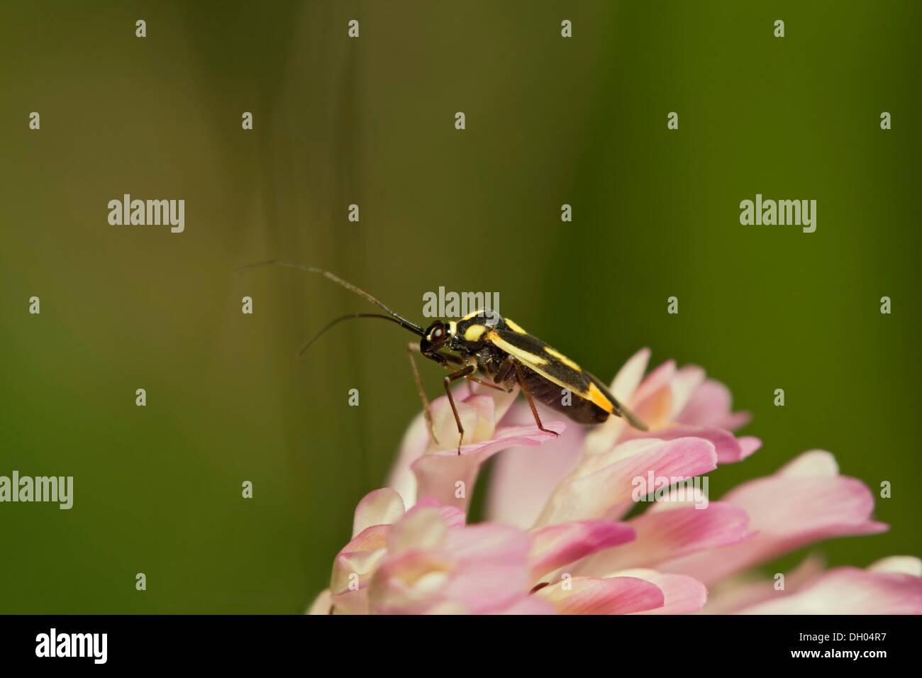 Capsid bug (Grypocoris stysi), on trefoil, South Wales, United Kingdom, Europe - Stock Image