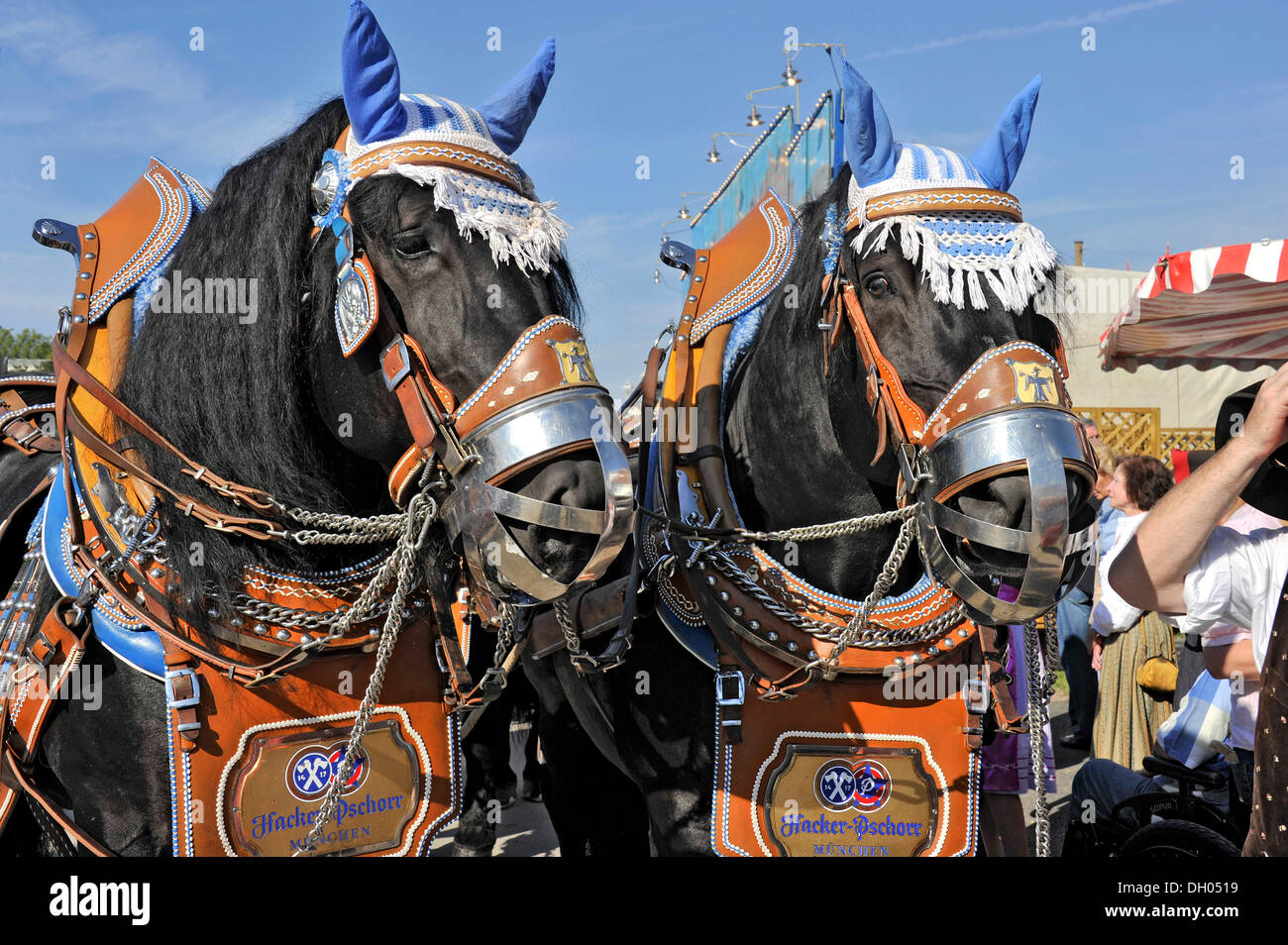 Horse-drawn brewery carriage, beer carriage, cold-blood horses, Oktoberfest festival, Munich, Upper Bavaria, Bavaria Stock Photo