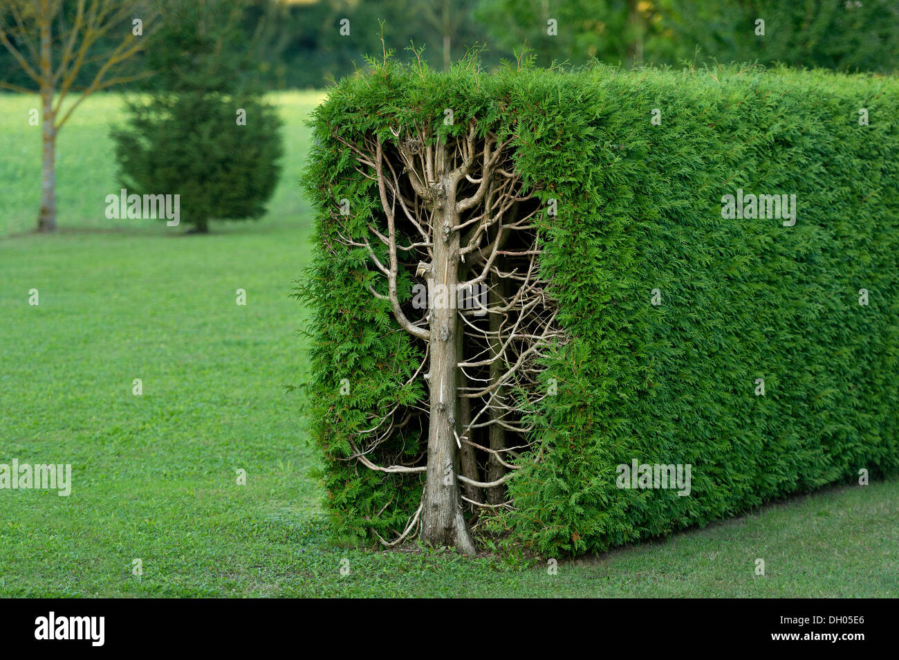 thuja hedge stock photos thuja hedge stock images alamy