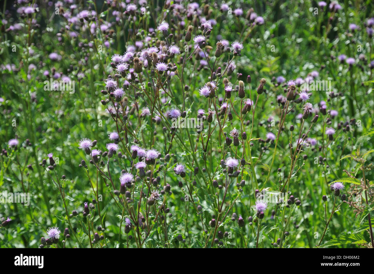 Spear Thistles - Stock Image