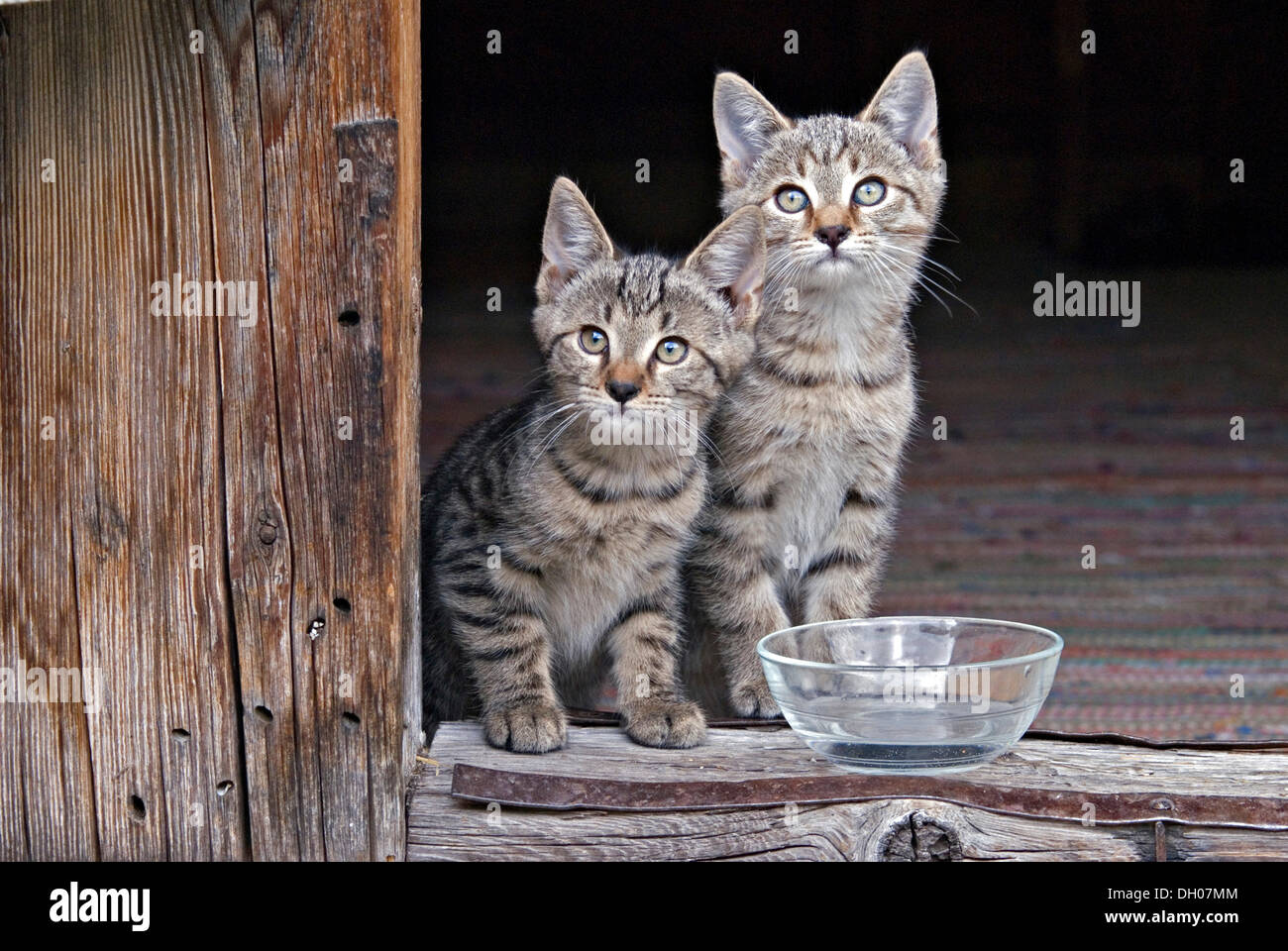 Young domestic cats, kittens, Eng-Alm, Karwendel Mountains, Tyrol, Austria, Europe - Stock Image