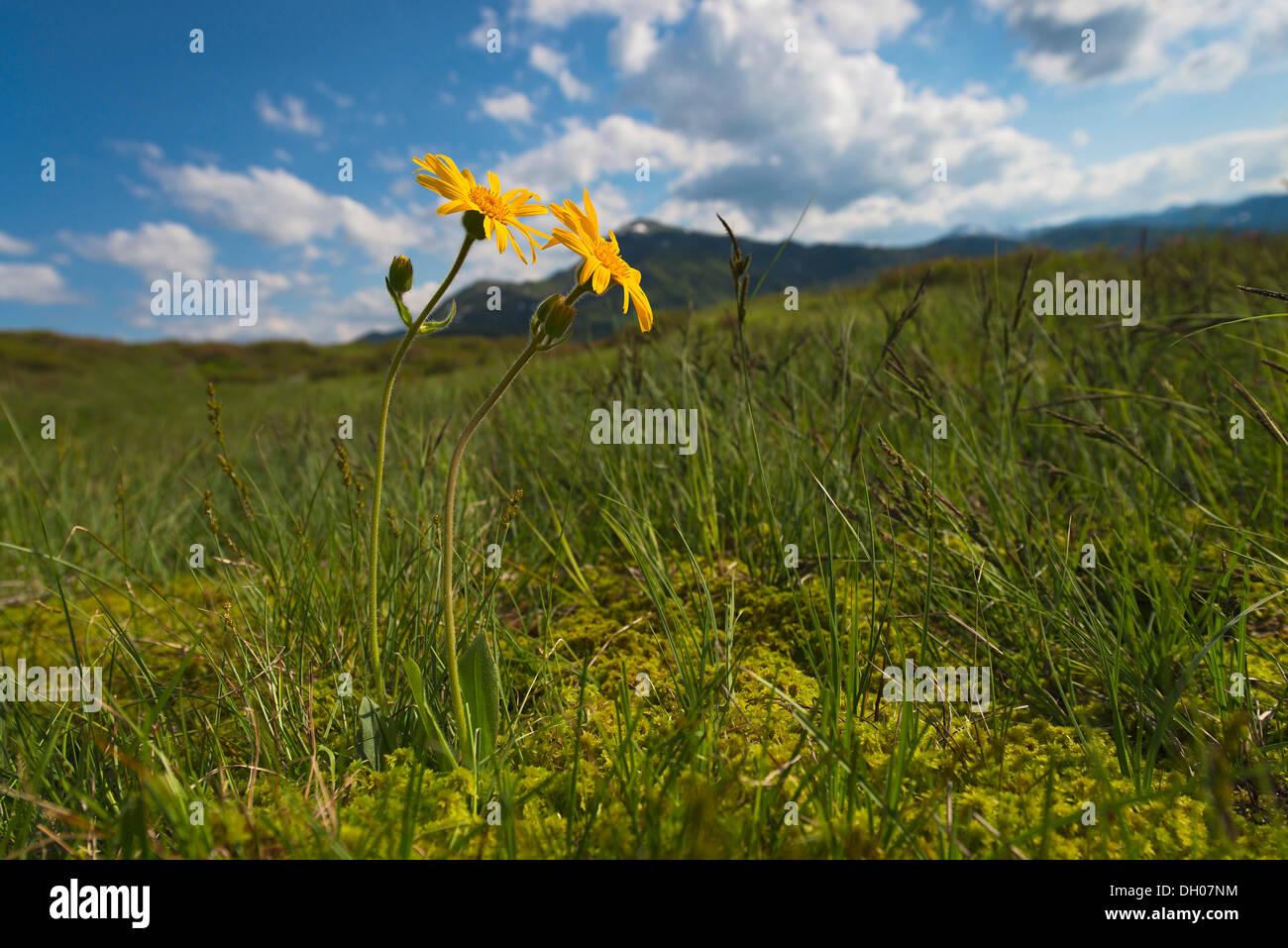 Leopard's Bane, Wolf's Bane, Mountain Tobacco or Mountain Arnica (Arnica montana), Naunz, Schwaz, Tyrol, Austria, Stock Photo