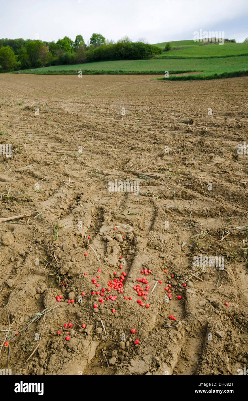 Corn seed dyed with insecticide, Limbach, Burgenland, Austria, Europe - Stock Image