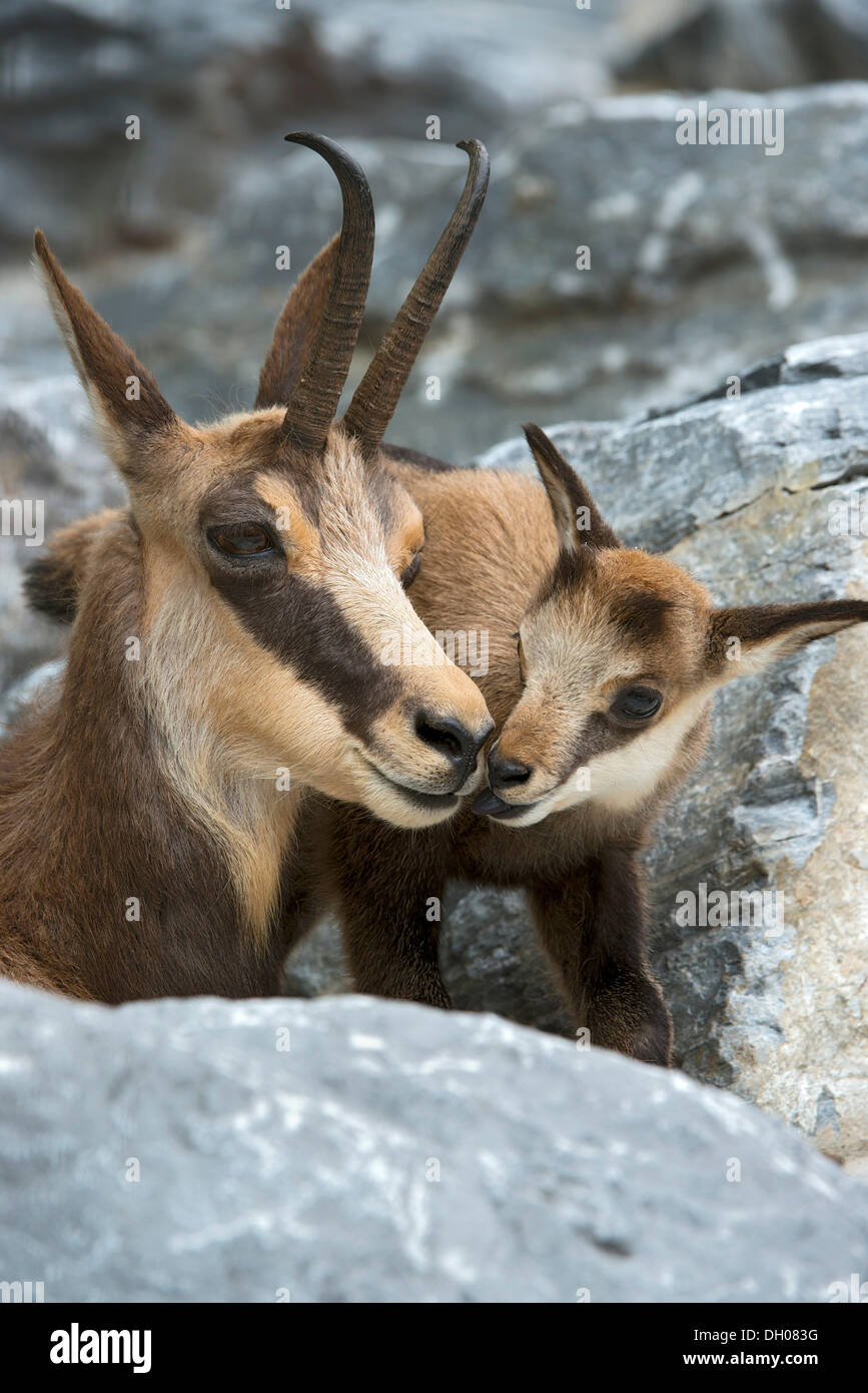 Chamois with fawn (Rupicapra rupicapra), Alpine Zoo Innsbruck, Tyrol, Austria, Europe - Stock Image