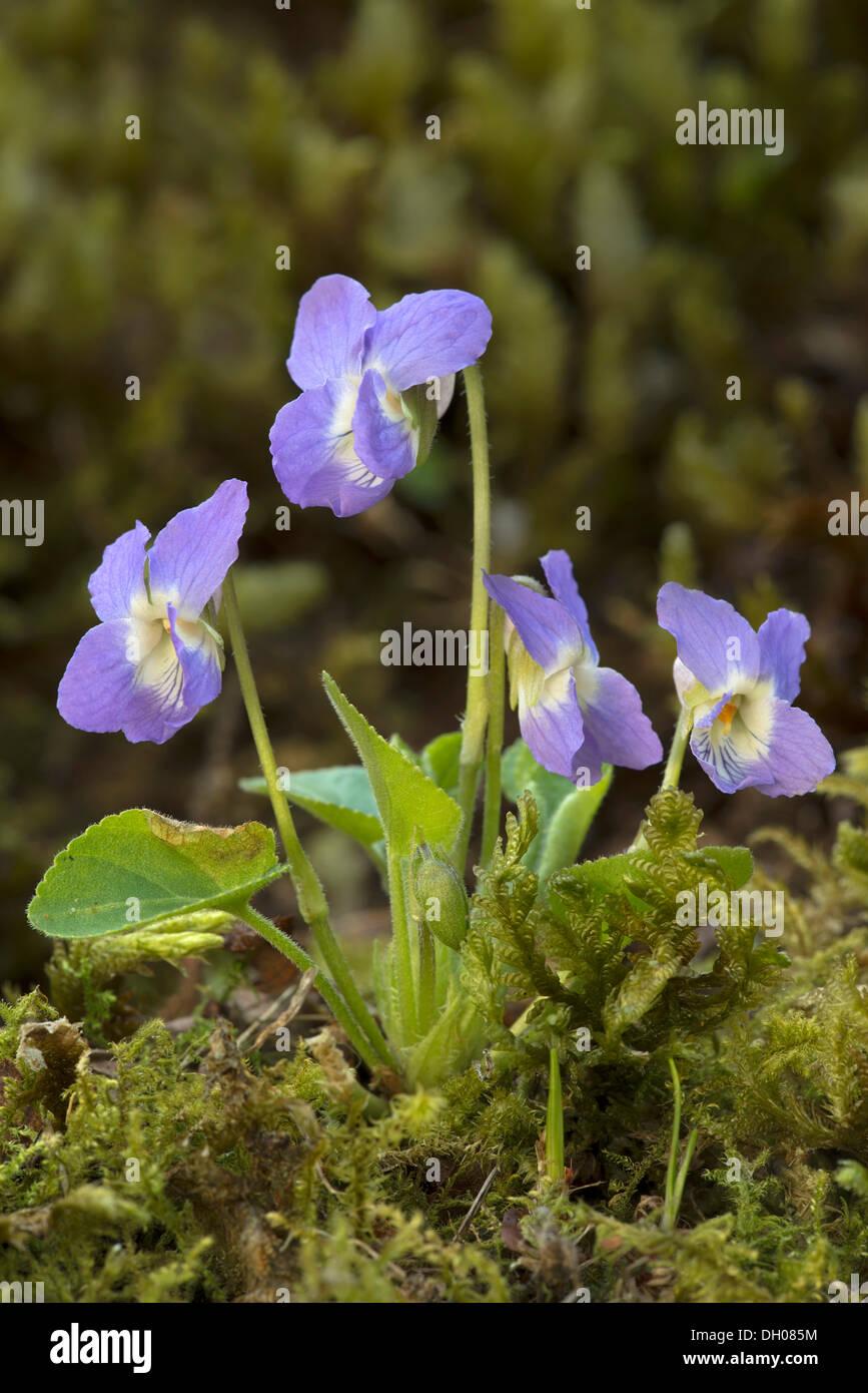 Hairy violet (Viola hirta), Tiefenbach-Klamm gorge, Kramsach, Tyrol, Austria, Europe - Stock Image