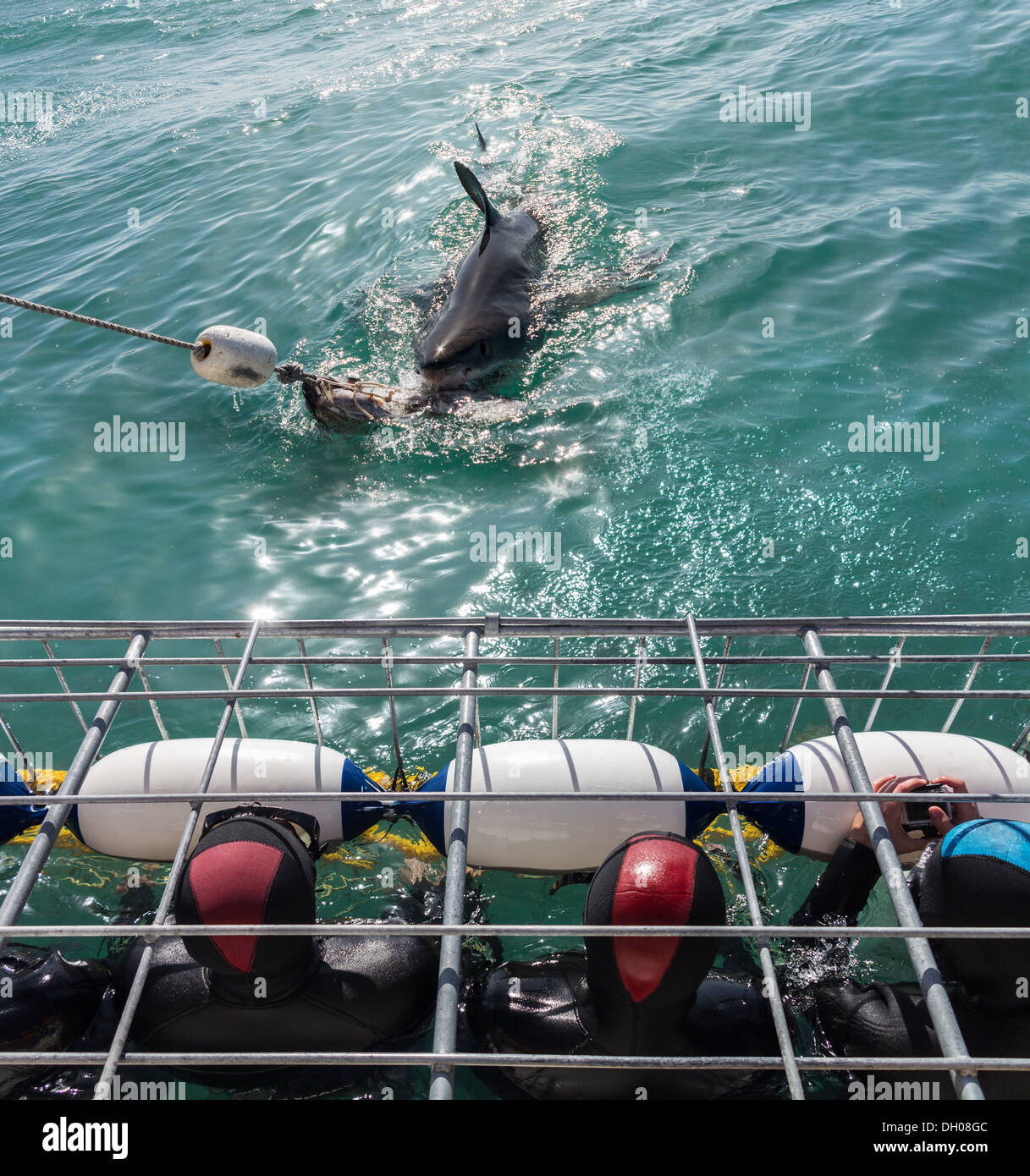 Great White Shark diving cage and tourist divers off Gansbaai coastline near Cape Town, South Africa - Stock Image