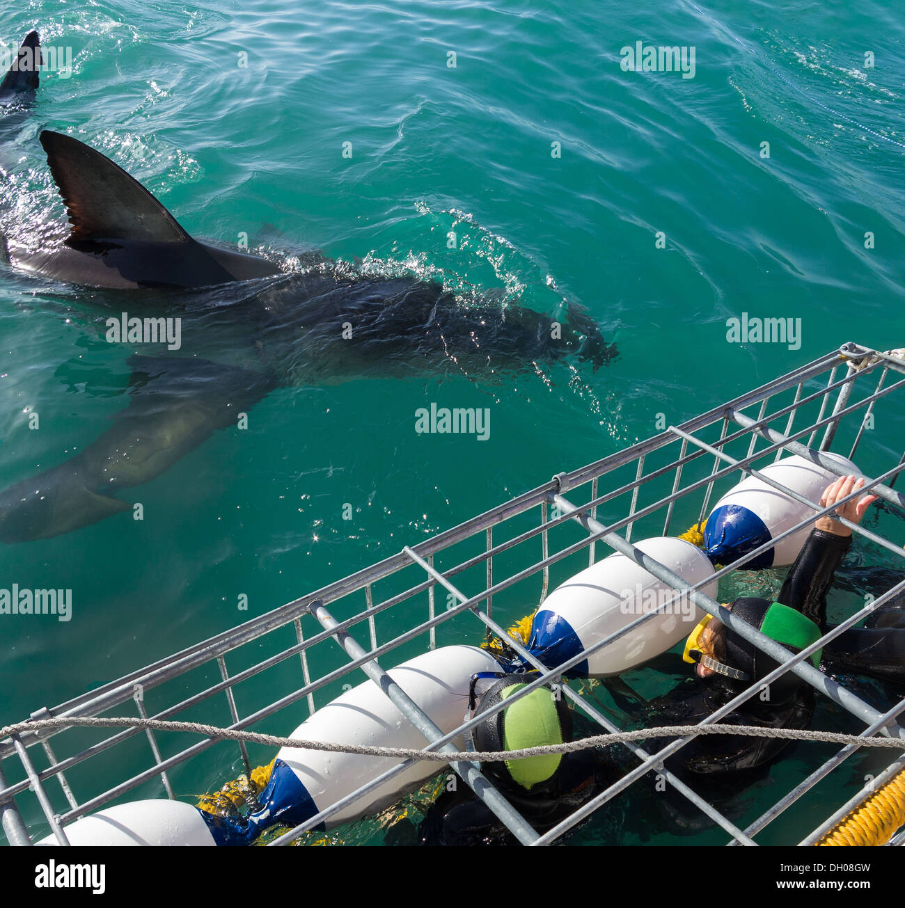Great White Shark next to diving cage and tourist divers off Gansbaai coastline near Cape Town, South Africa - Stock Image