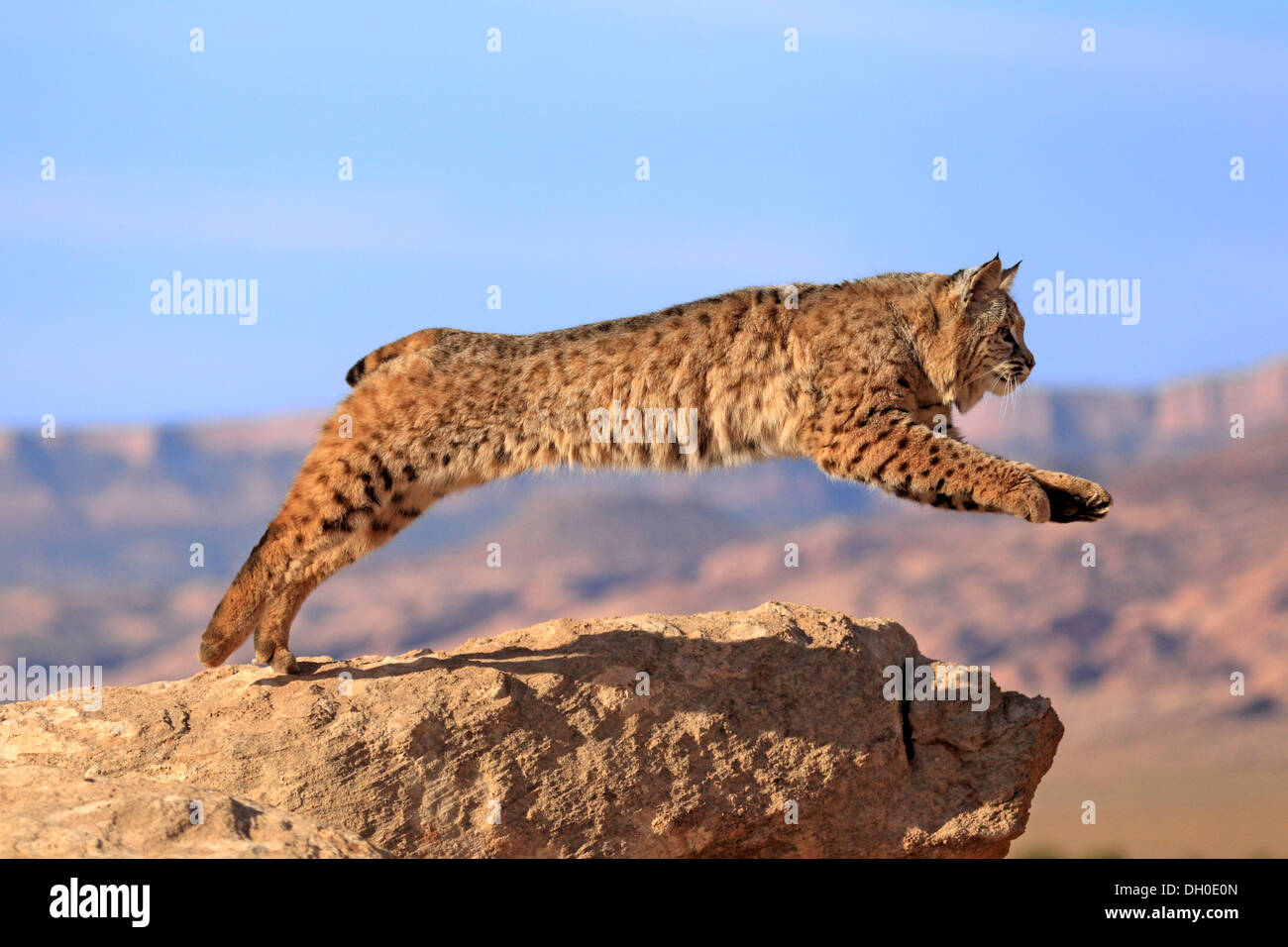 Bobcat (Lynx rufus) jumping from a rock, captive, Monument Valley, Utah, United States - Stock Image