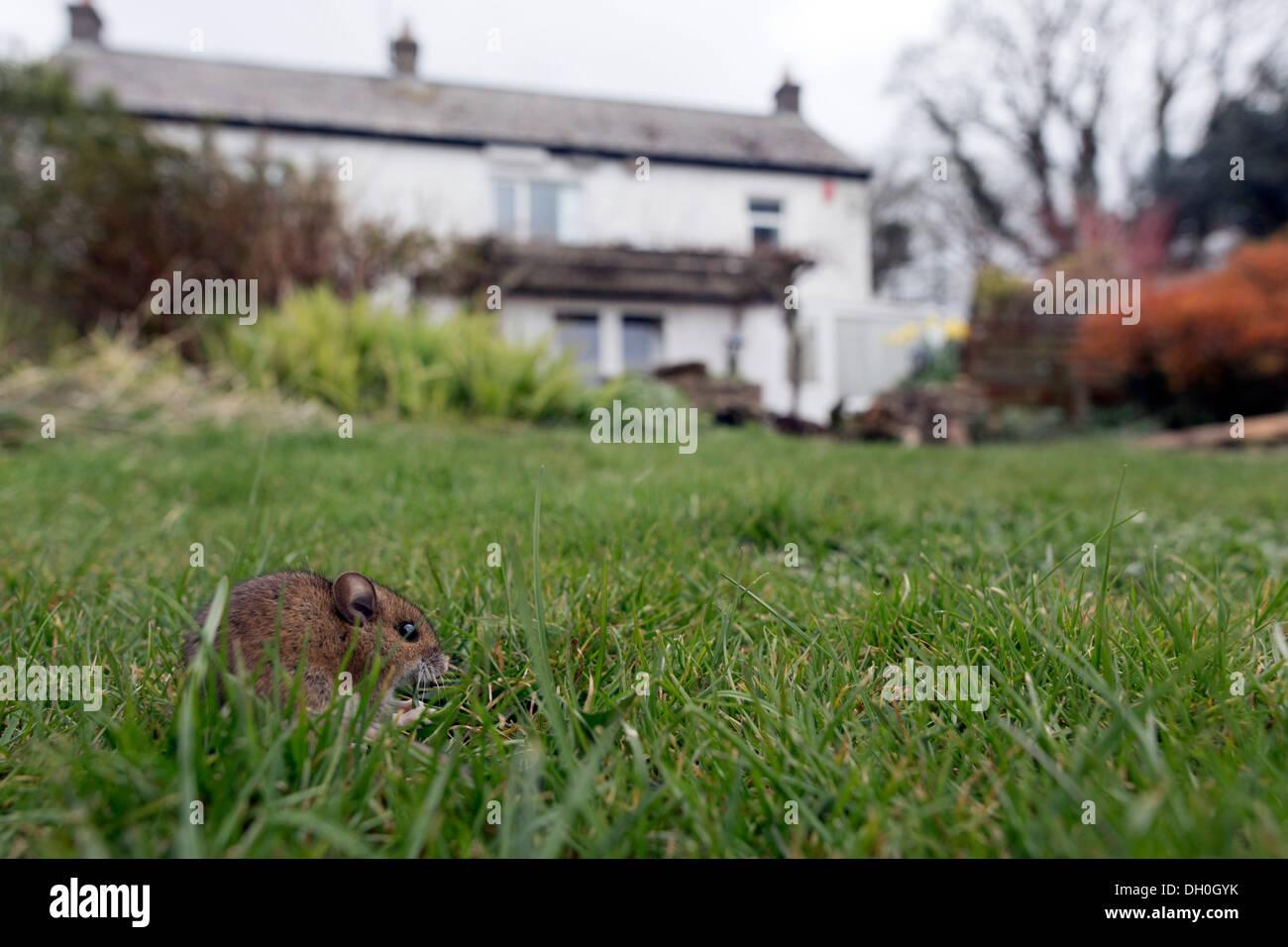 Wood Mouse; Apodemus sylvaticus; in Garden; UK Stock Photo