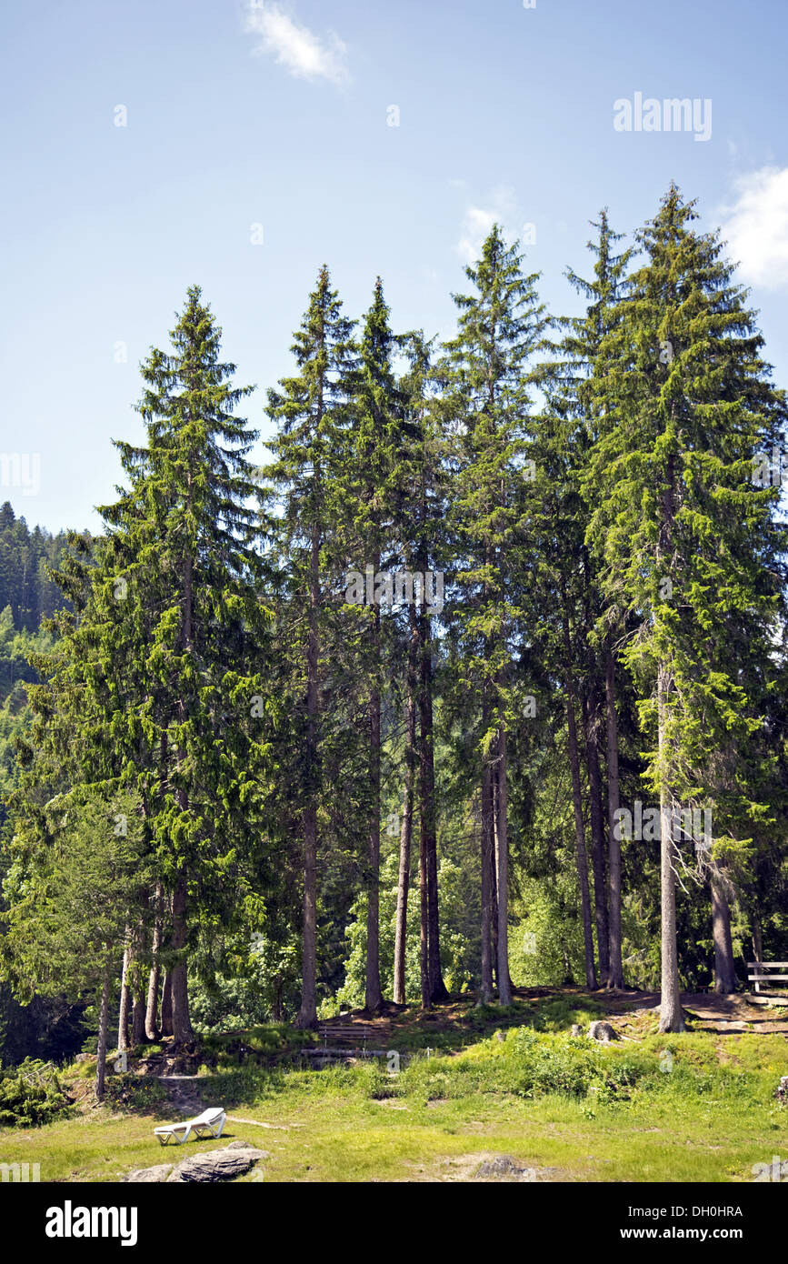 Conifers - Stock Image