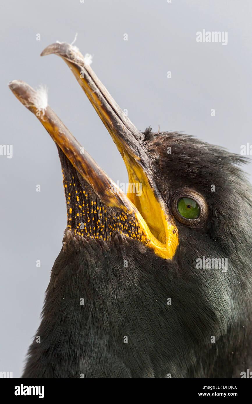 European shag (Phalacrocorax aristotelis), Farne Islands, Northumberland, England, United Kingdom, Europe - Stock Image