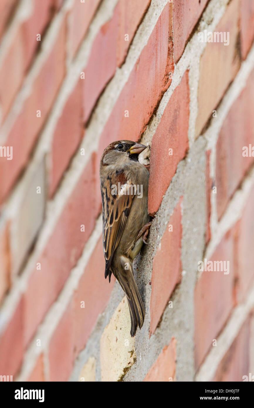 House Sparrow Passer Domesticus On A Brick Wall Ruegen Island Mecklenburg