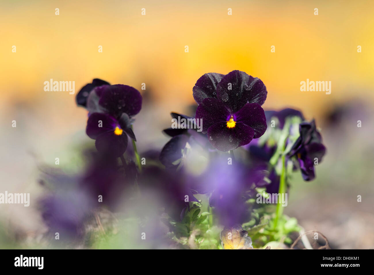 Garden Pansy (Viola wittrockiana), Kassel, Kassel, Hesse, Germany Stock Photo