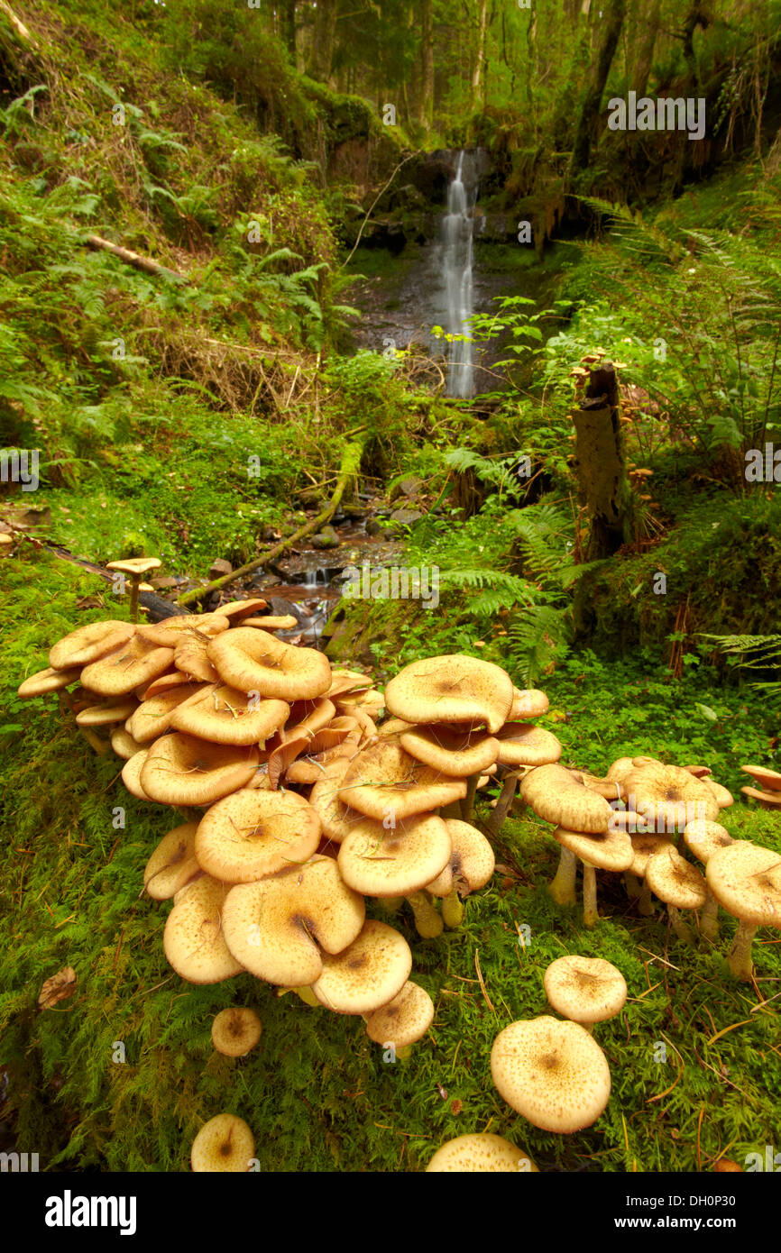 Fungus, (probably Honey fungus (Armillaria mellea))  growing on a fallen tree over a small stream in the Brecon Beacons. - Stock Image