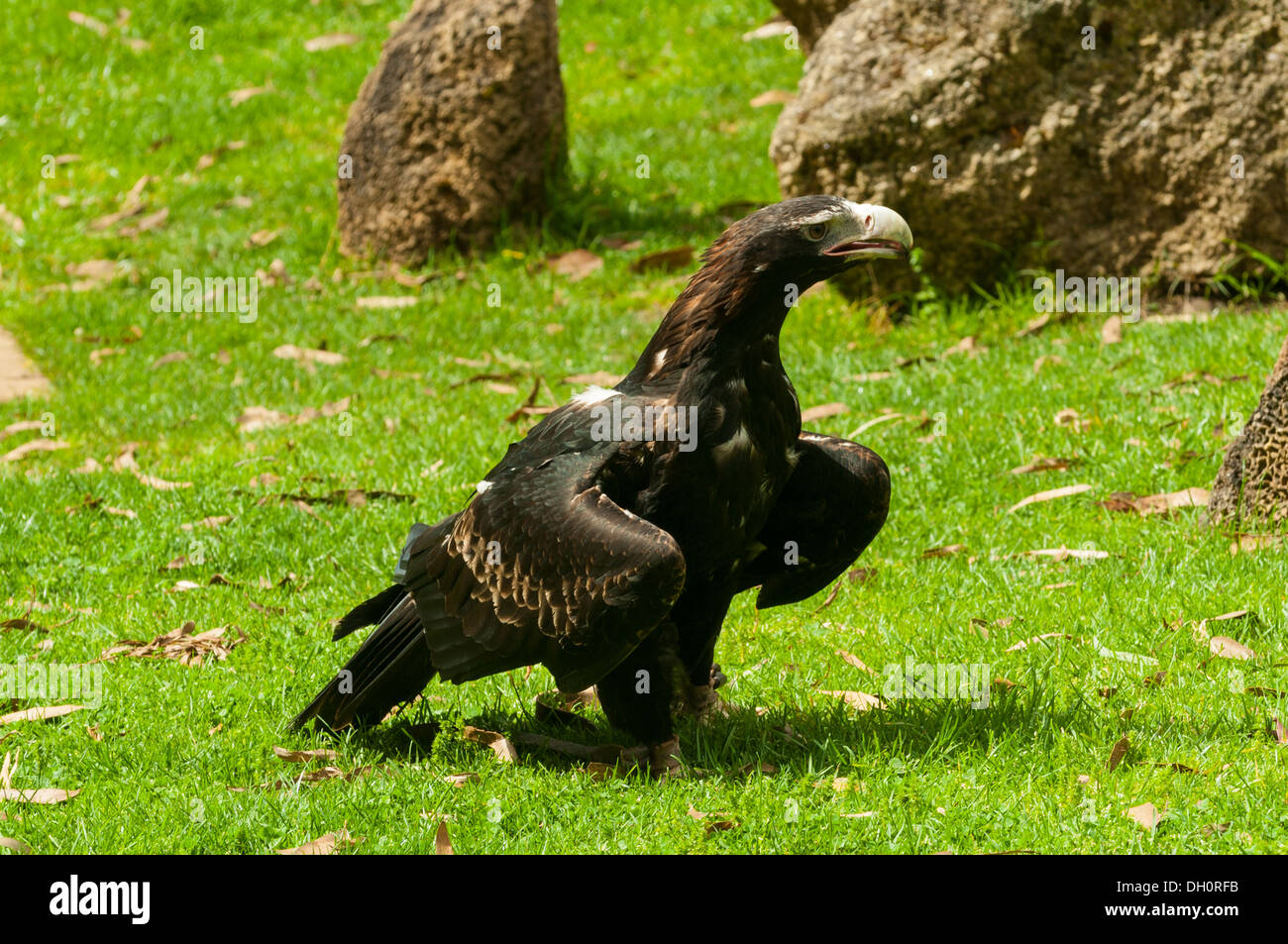 Wedge-tailed Eagle at Healesville Sanctuary near Melbourne, Victoria, Australia - Stock Image