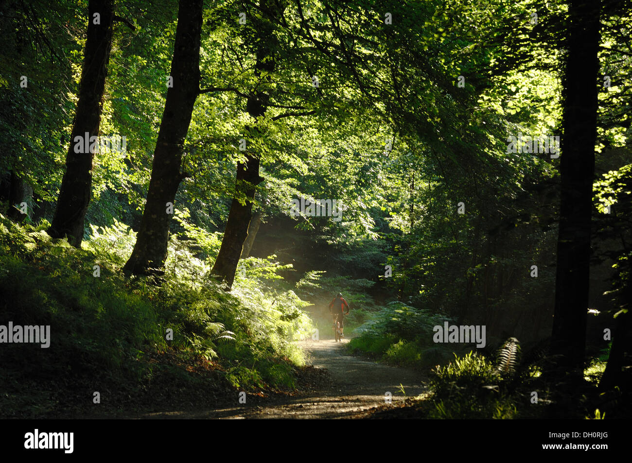 A cyclist in Fingle Wood near Mortonhampstead Dartmoor UK. Bought by the Woodland Trust in 2013 for restoration. Teign Valley - Stock Image