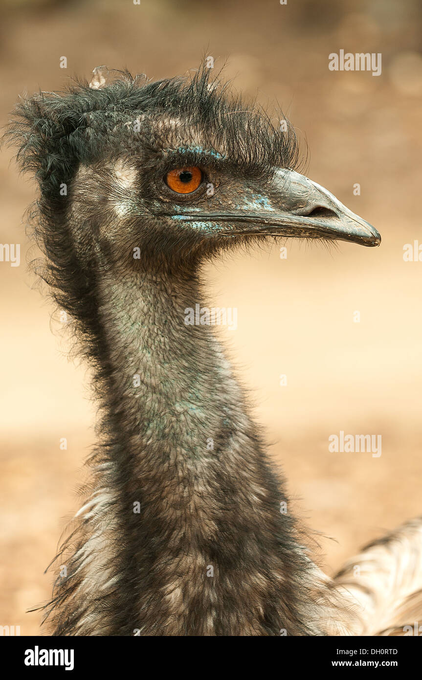 Emu at Melbourne Zoo, Victoria, Australia Stock Photo