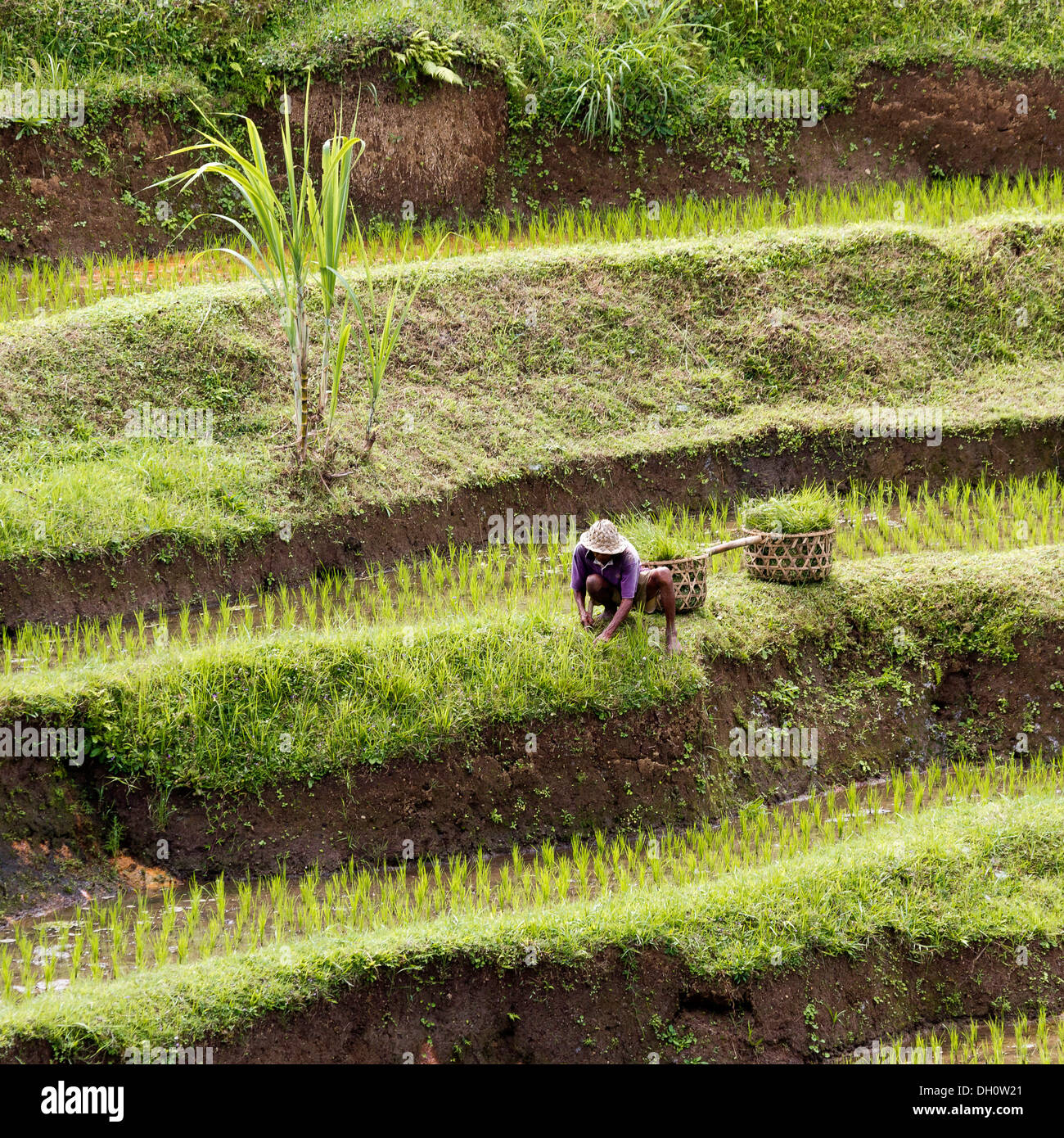 Rice terraces near Ubud, central Bali, Bali, Indonesia, Southeast Asia Stock Photo