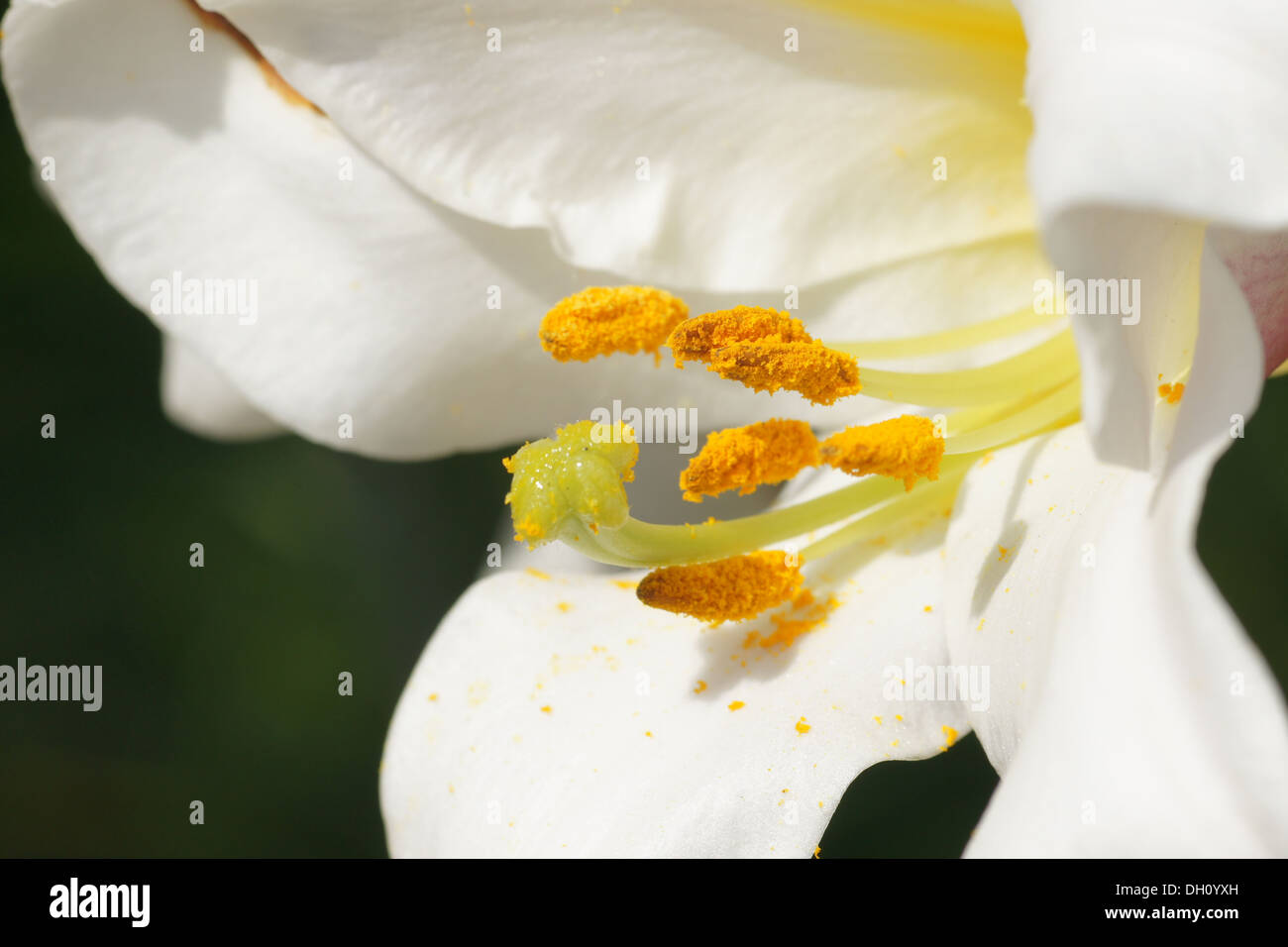 Regal Lily - Stock Image