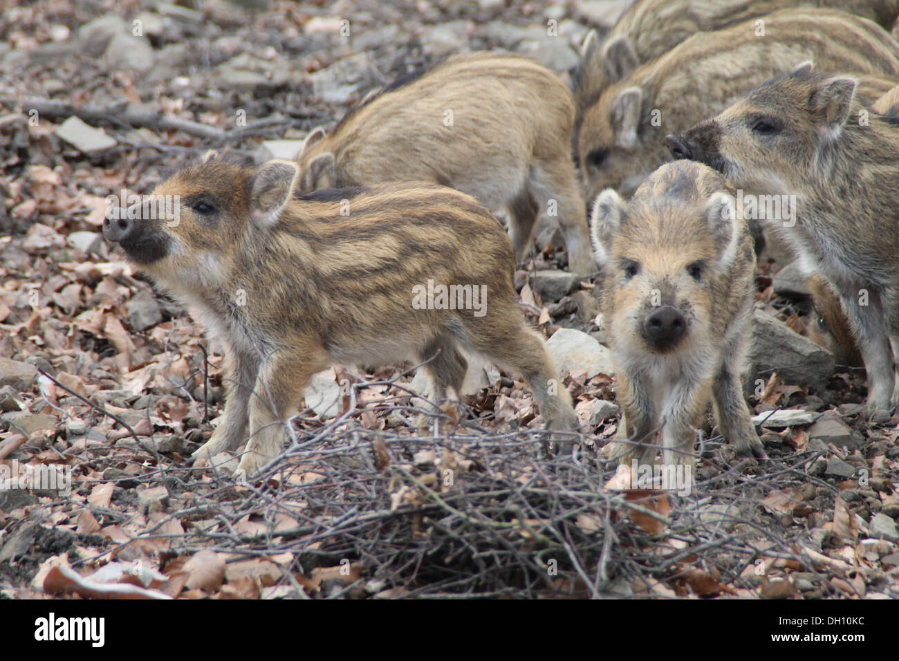 Piglets - Stock Image