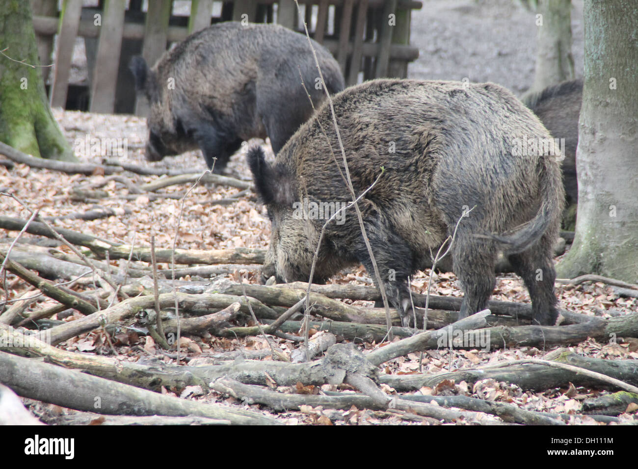 Searching wild boars - Stock Image
