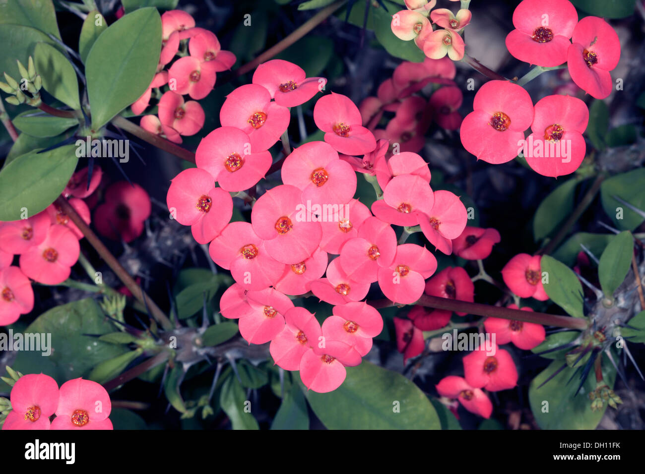Euphorbia milii flowers thorns plant stock photos euphorbia milii crown of thorns christ plant christ thorn cactus flowers euphorbia milii family mightylinksfo