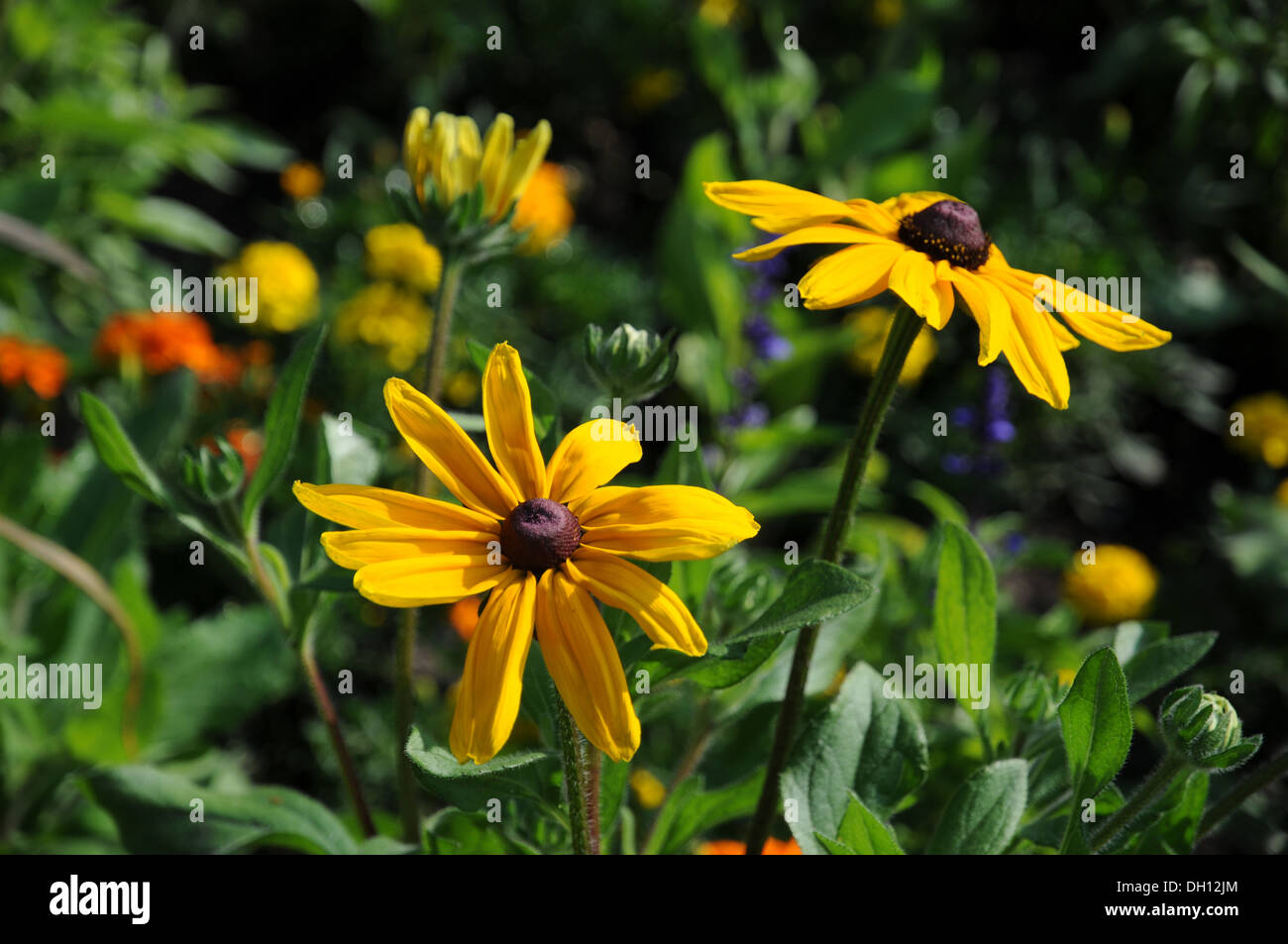 Coneflowers - Stock Image