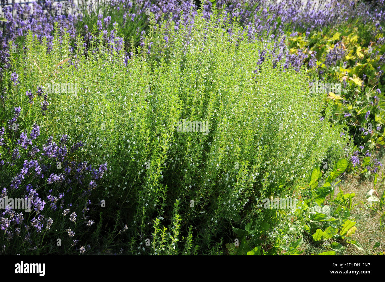 Winter Savory - Stock Image