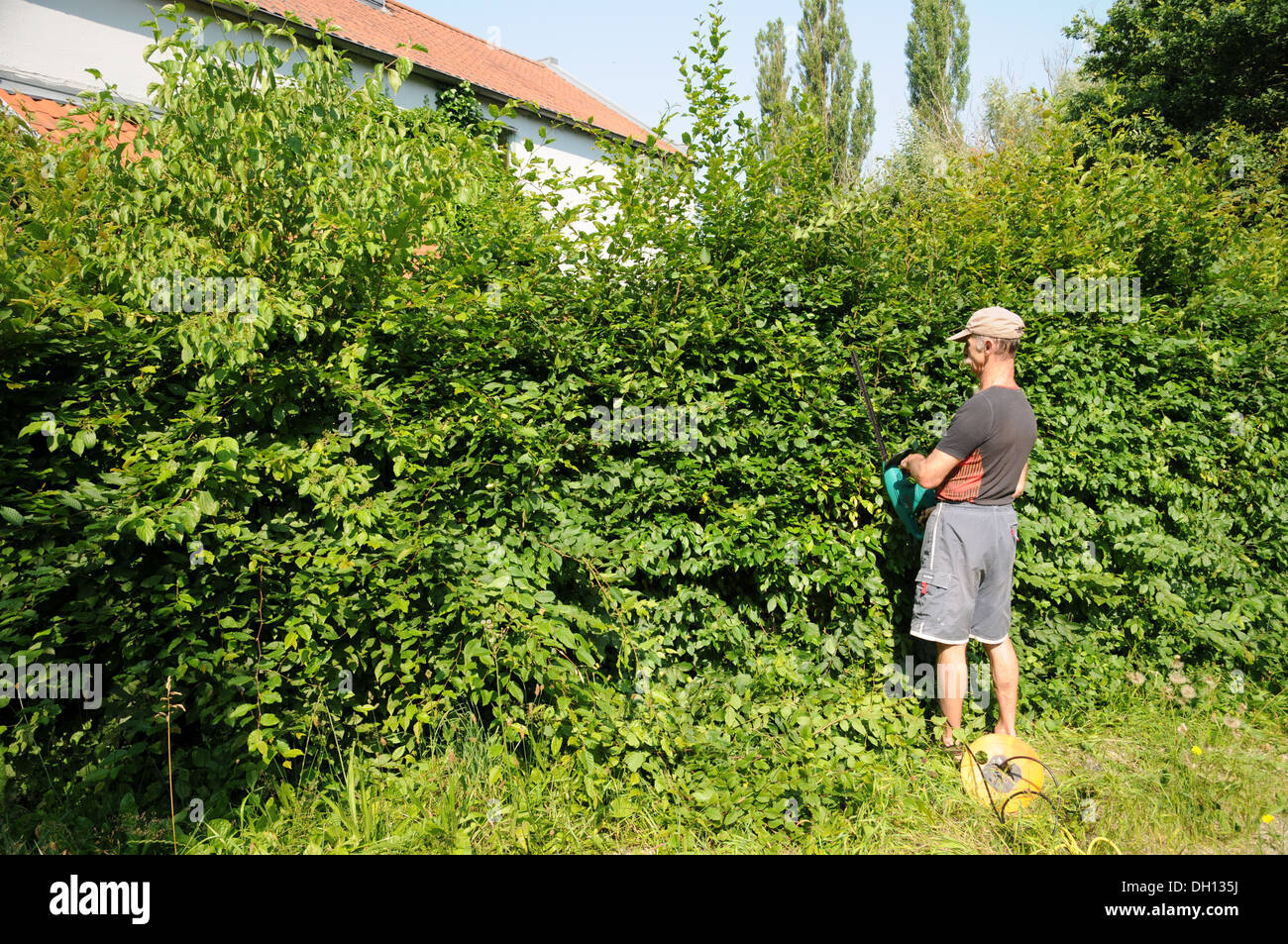 Hornbeam-Hedge shaping - Stock Image