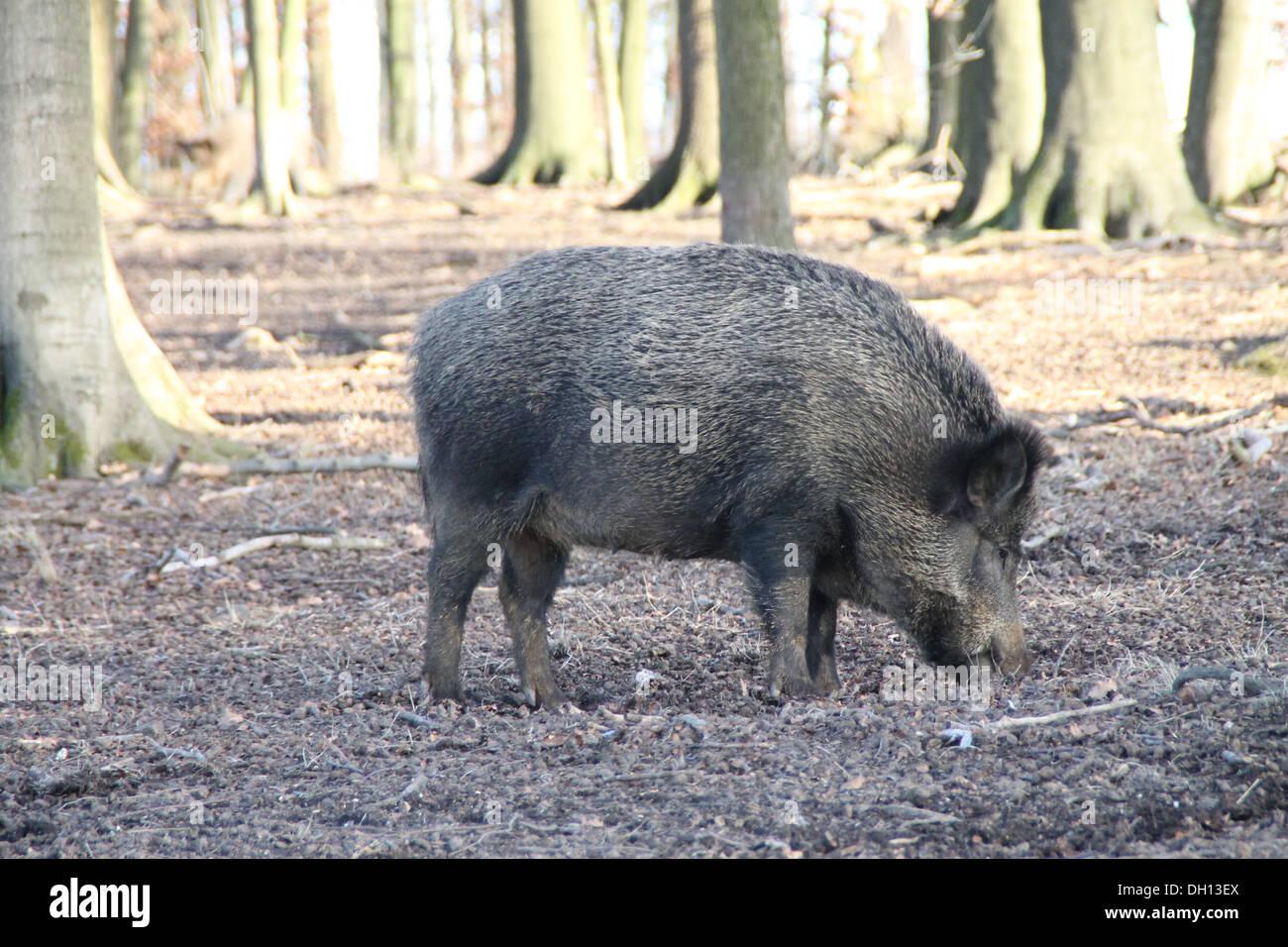 A boar - Stock Image