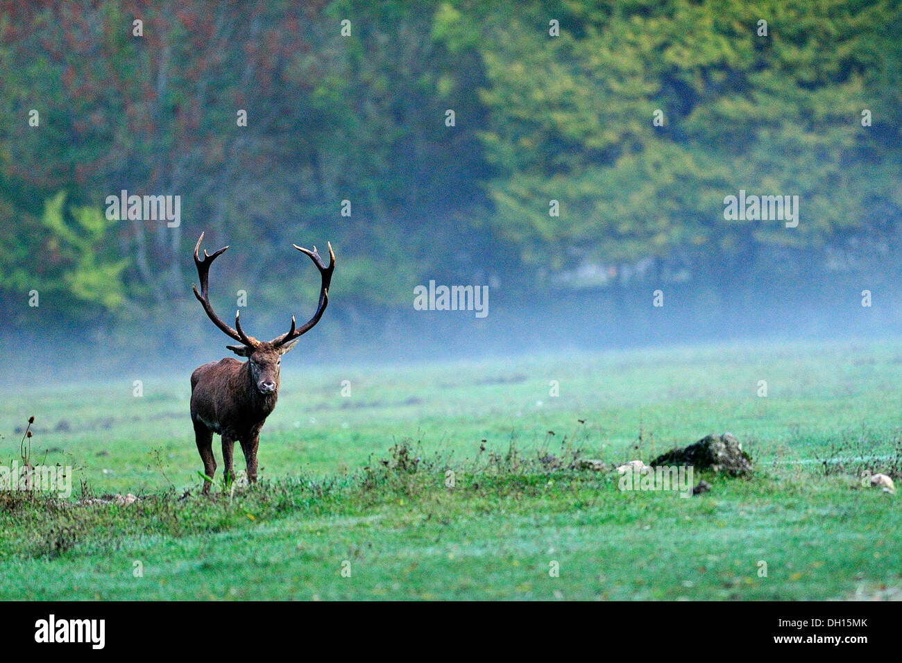 Male of Red deer (Cervus elaphus), Cervidae, Abruzzo National Park, Italy - Stock Image