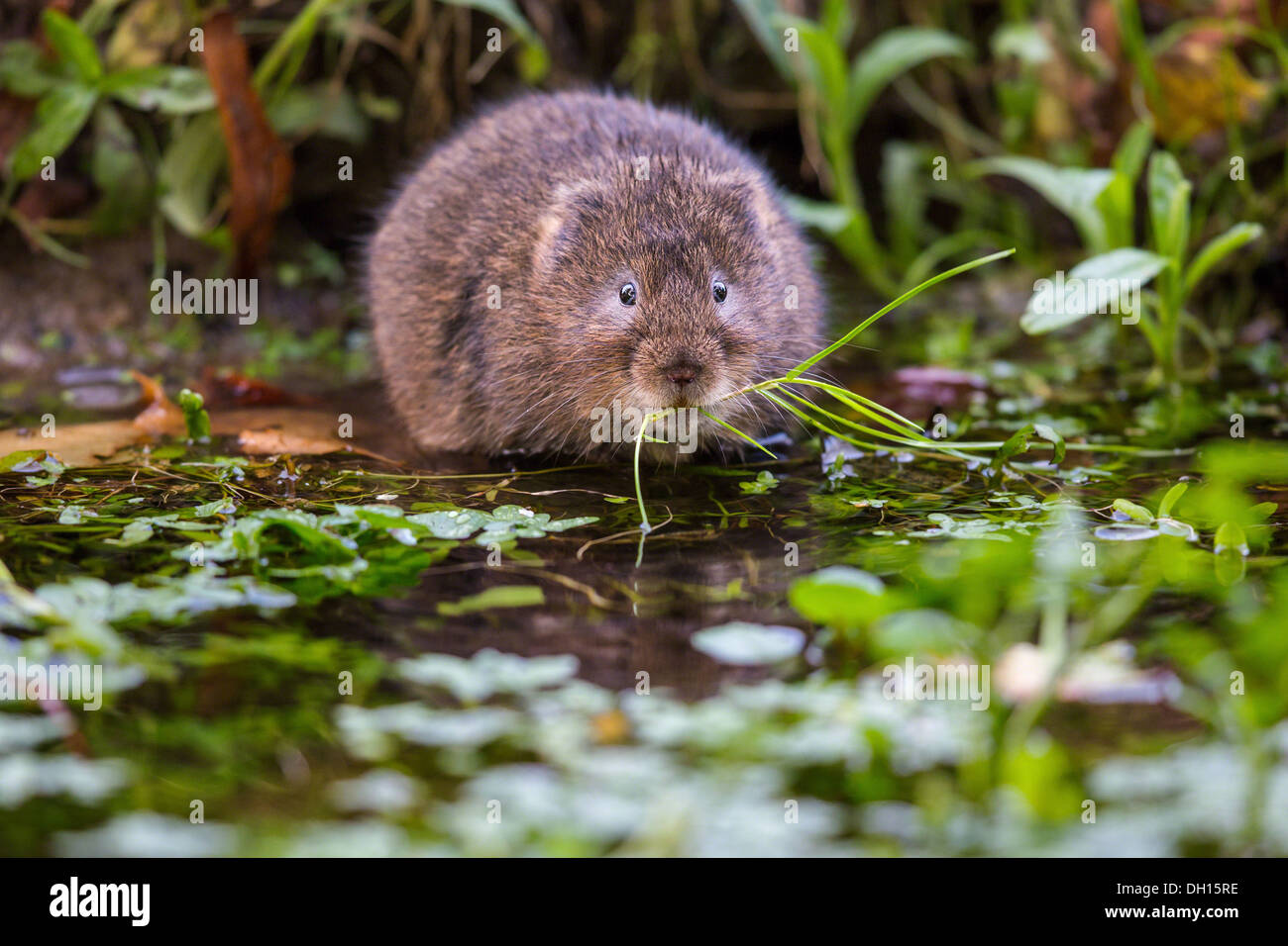 Eurasian water vole ( Arvicola amphibius) eating on the edge of a stream, Sussex, UK - Stock Image