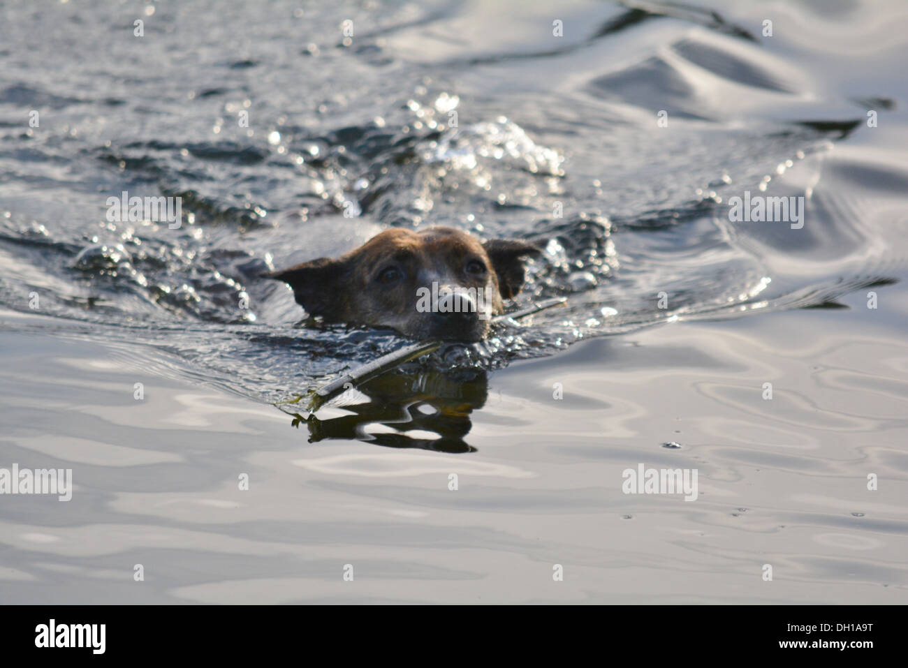 Staffordshire Bull Terrier swimming in the water with a stick in its mouth. - Stock Image