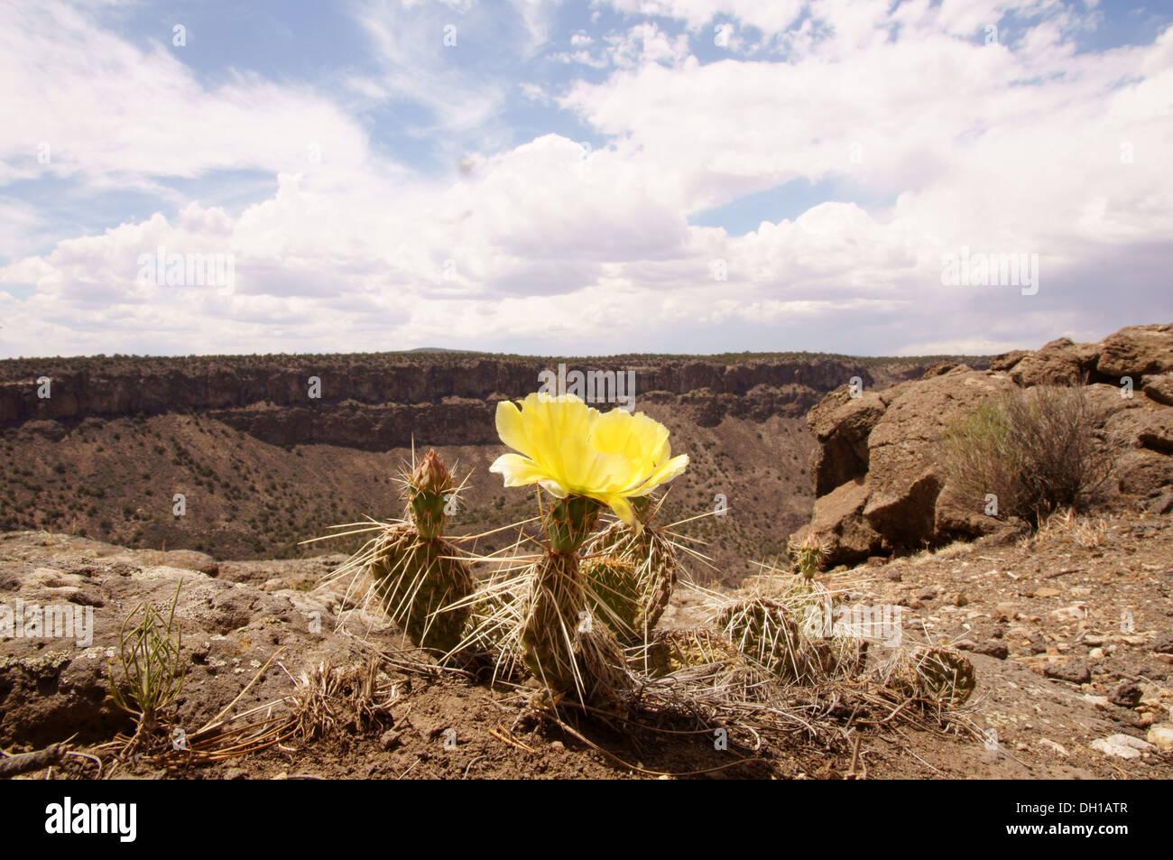 cactus flower rio grande del norte monument grand gorge taos new mexico nm national county president barack - Stock Image