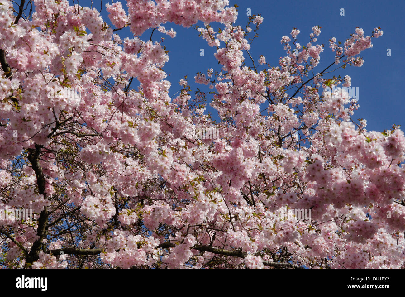 Cherry Blossom Genus Prunus Many Of The Varieties That Have Been