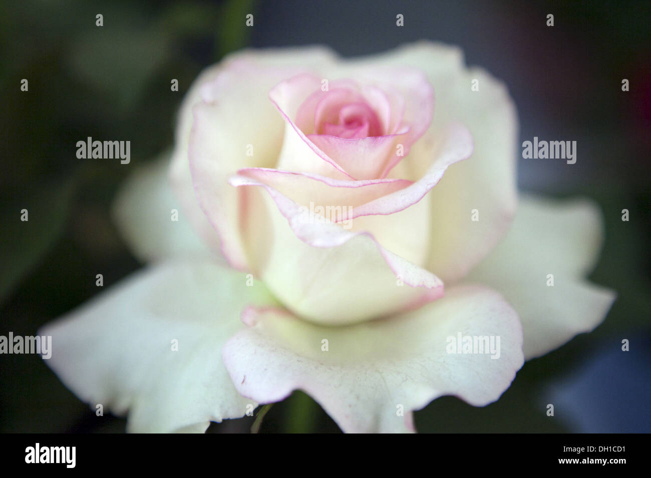white pink Rose flower close up Stock Photo