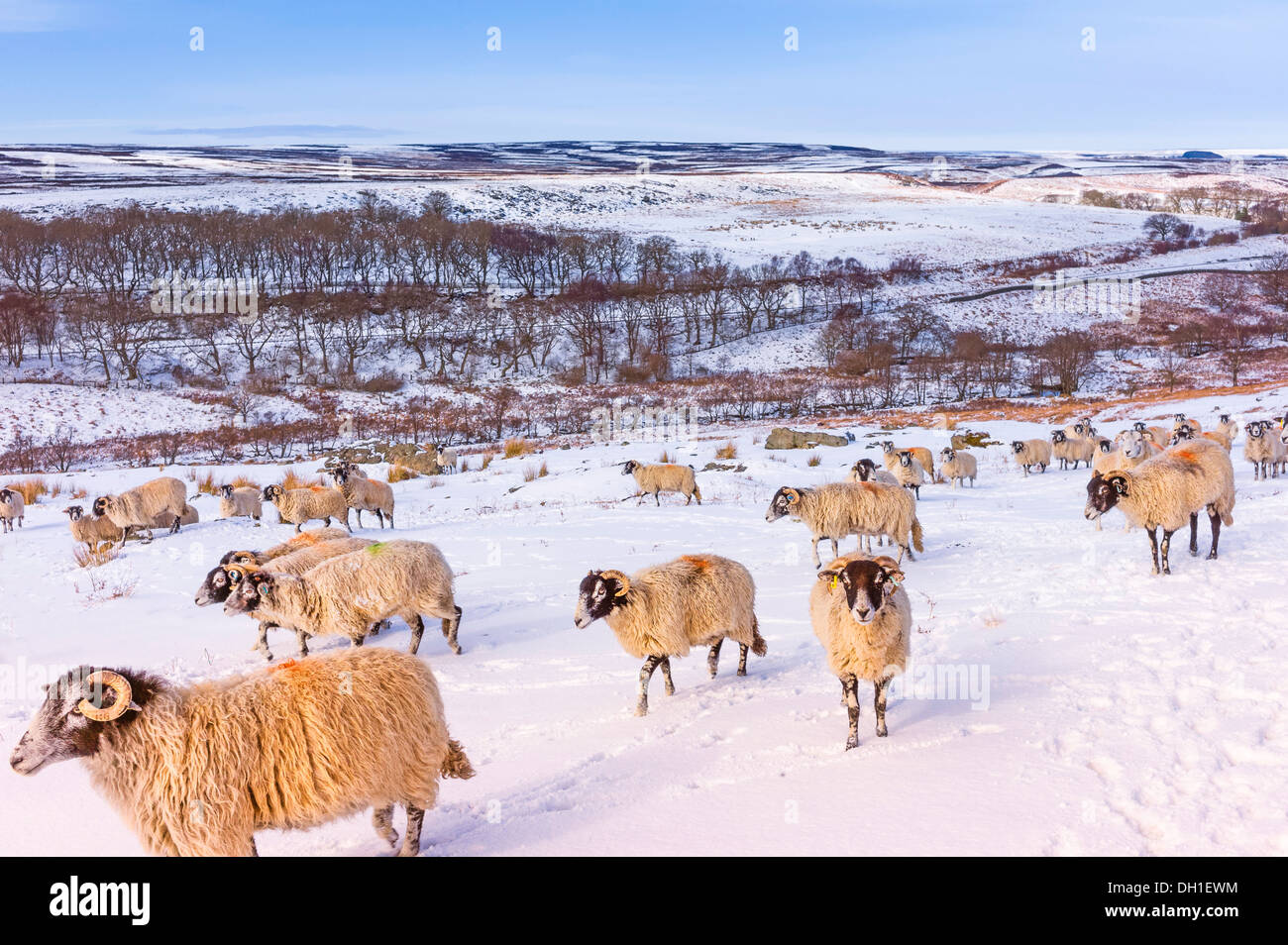 Sheep search for food following heavy snowfall on the North York Moors near Goathland, Yorkshire, UK. - Stock Image