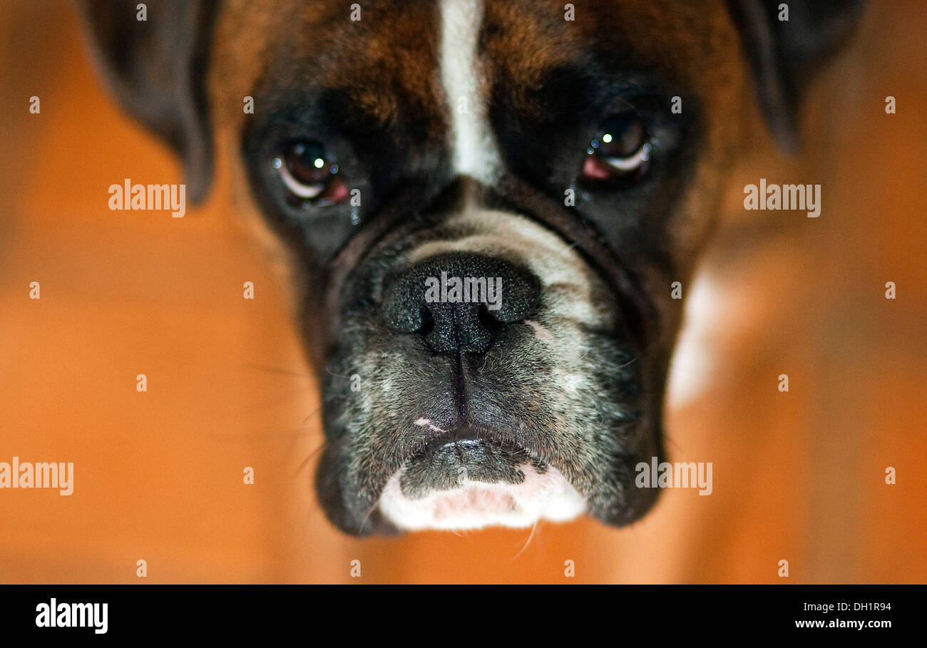 Boxer dog looking up shallow focus F1.4 - Stock Image