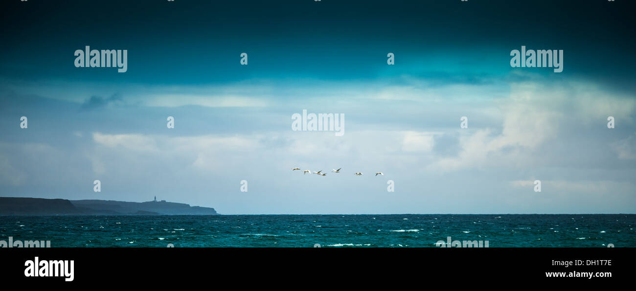 A Skein of Swans at the North Antrim Coast between Ballycastle and Fair Head County Antrim Northern Ireland - Stock Image