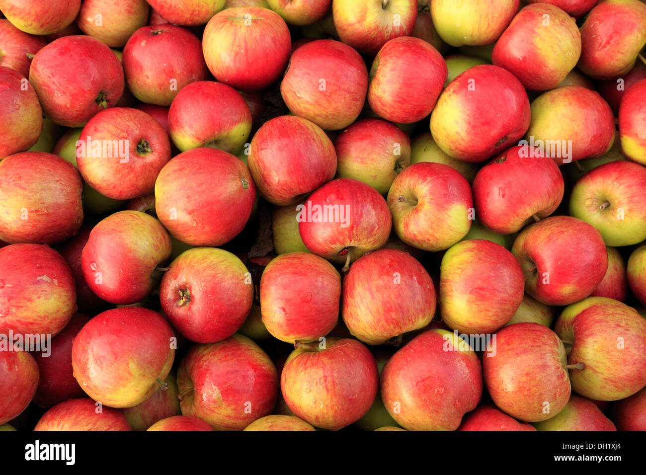 Apple 'Laxton's Fortune', farm shop display, apples UK Stock Photo