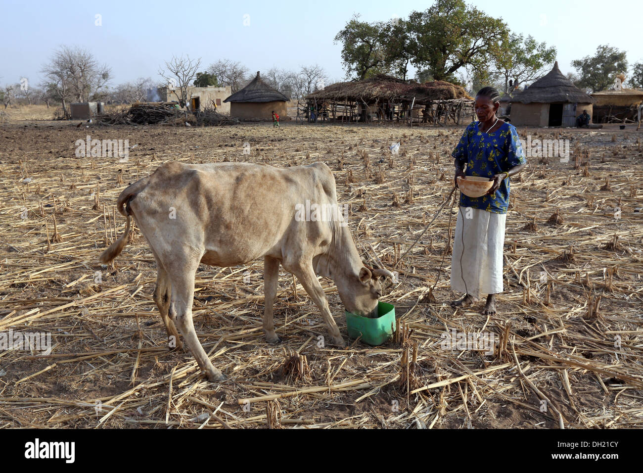 Woman in northern Burkina Faso feeding cow - Stock Image