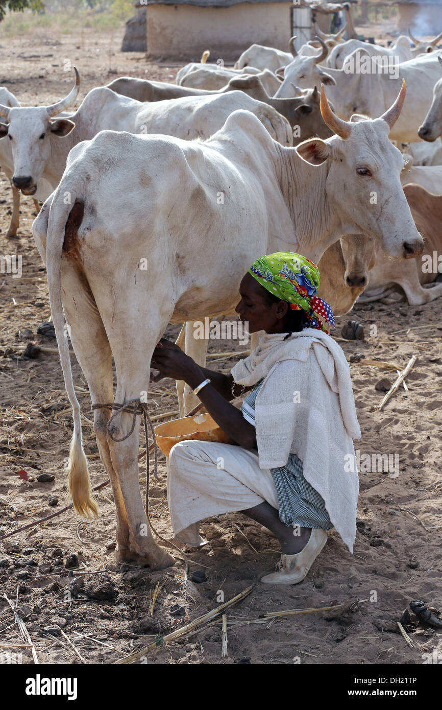 Woman in northern Burkina Faso milking cow - Stock Image