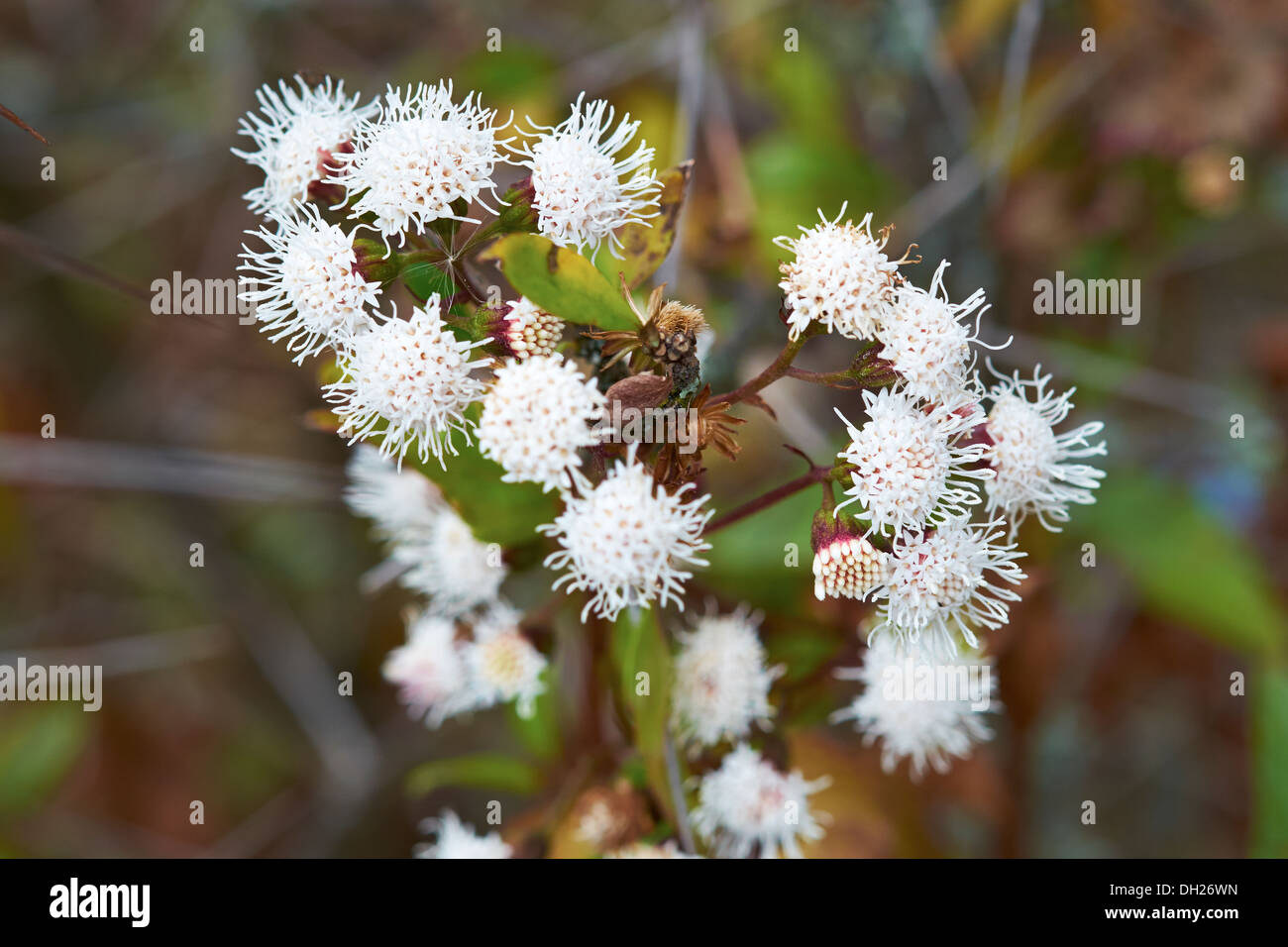 White mountain flowers in the andes peru south america stock photo white mountain flowers in the andes peru south america mightylinksfo