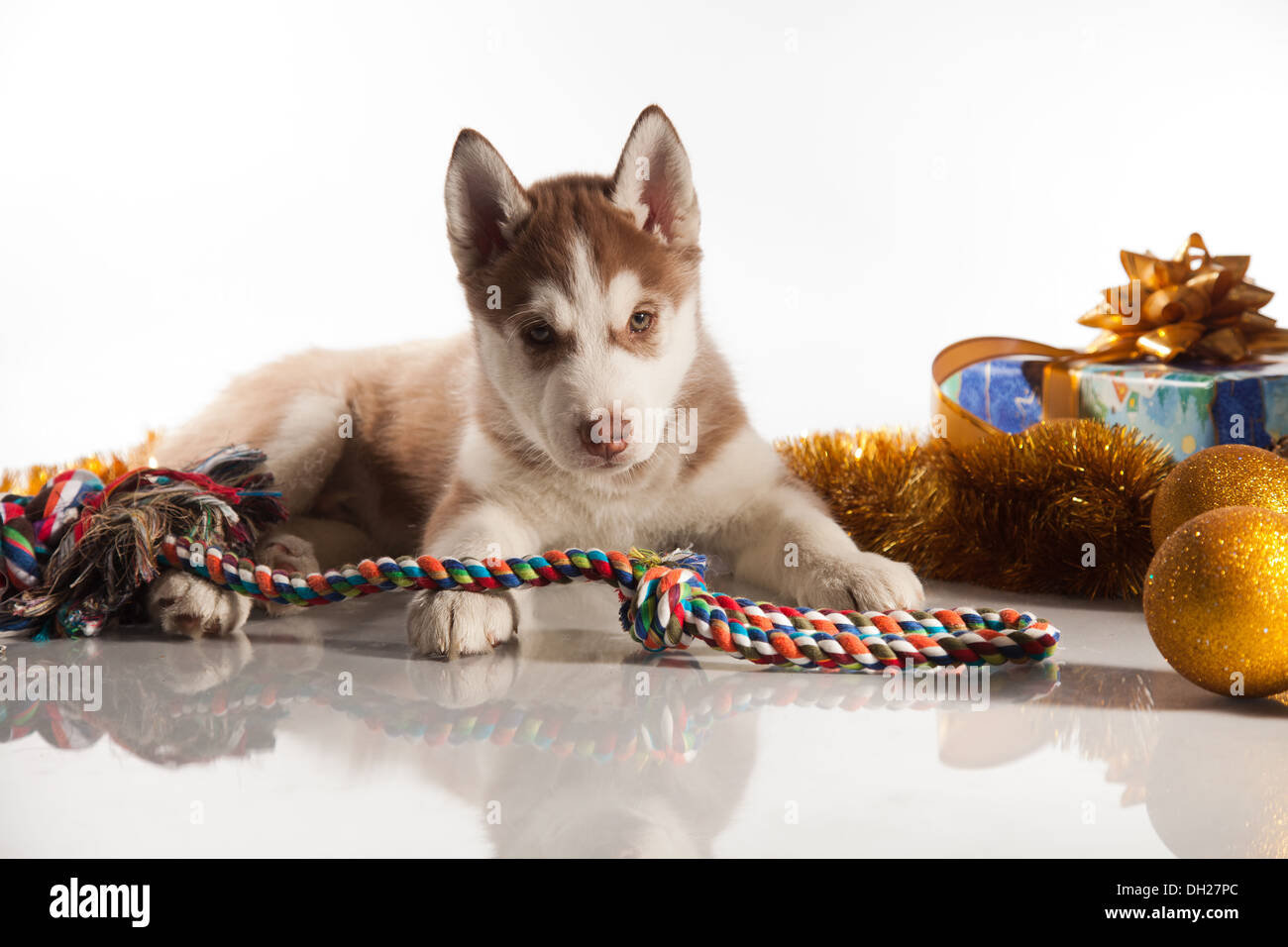 siberian husky puppy with christmas decoration