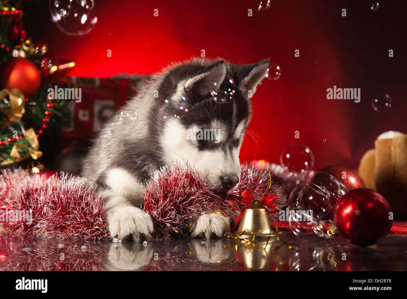 siberian husky puppy with christmas decoration stock image