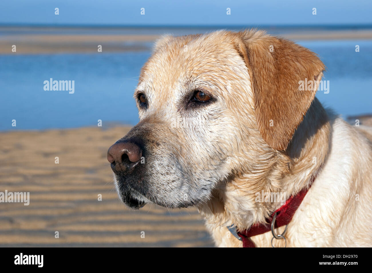 A male golden labrador dog - Stock Image