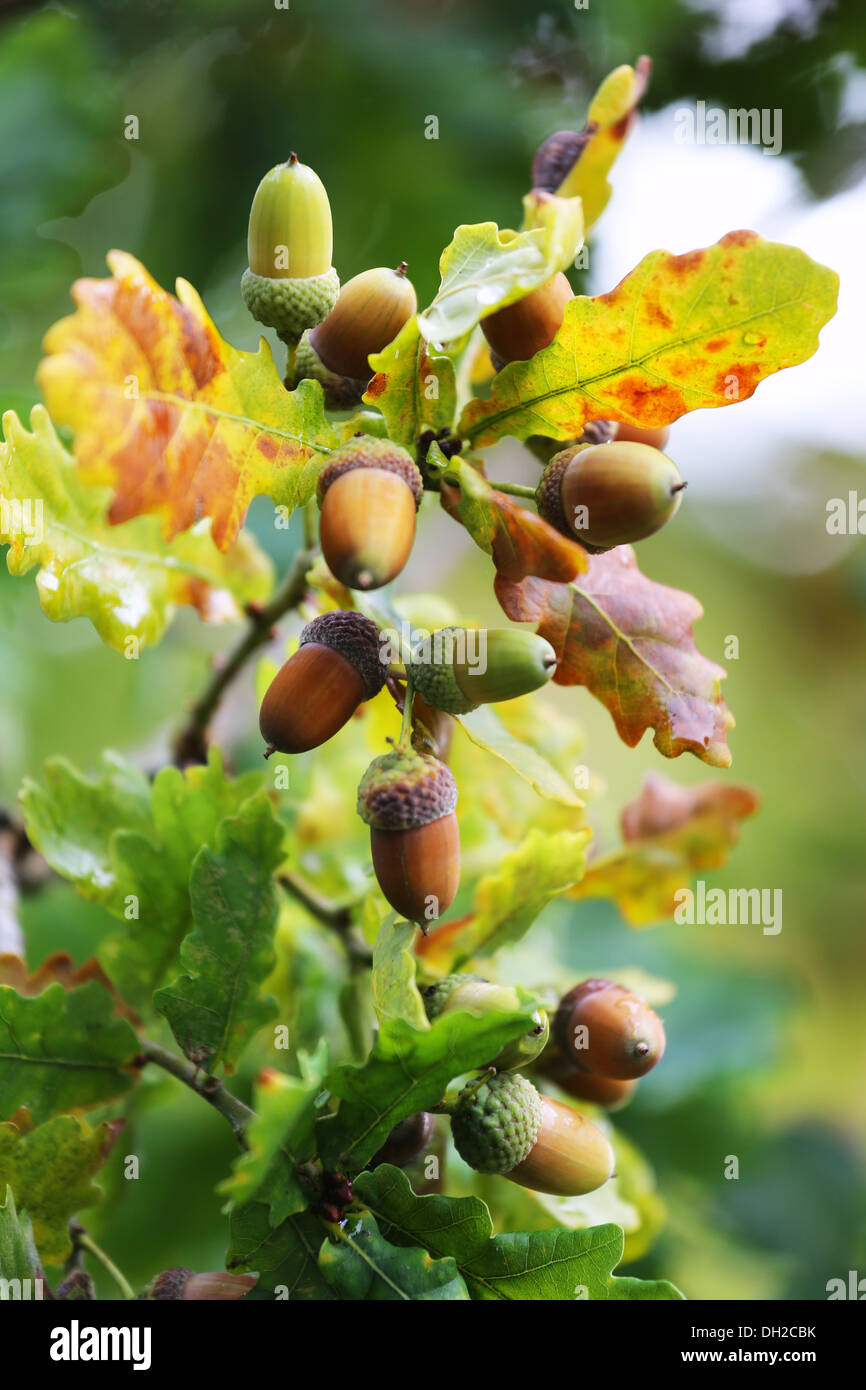 Acorn with leaves in autumn season Stock Photo