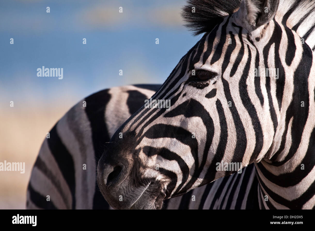 Zebra looking over his shoulder - Stock Image