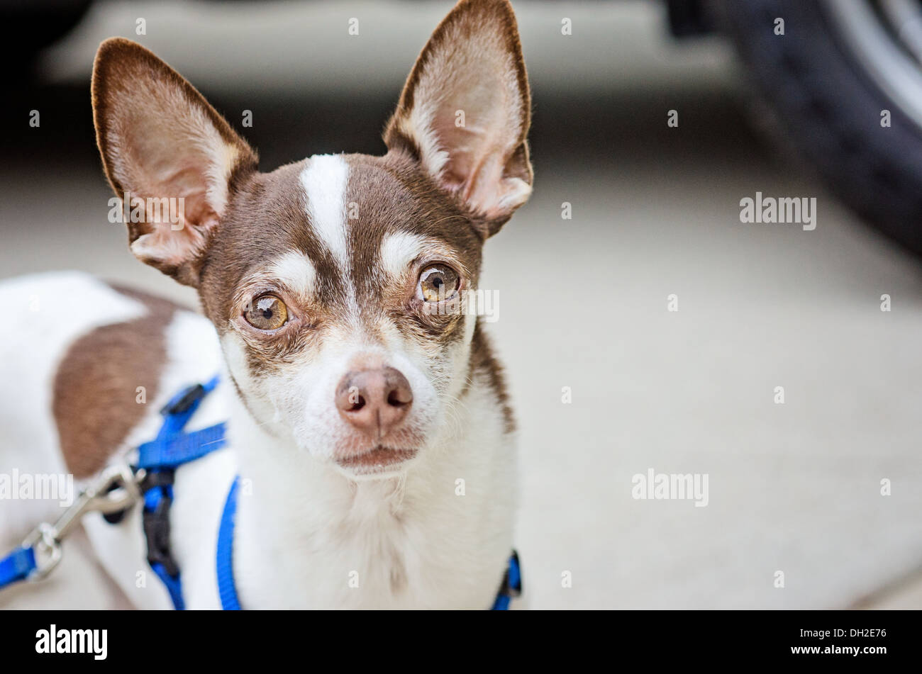 Pedro the Chihuahua is ready to rumble! Stock Photo