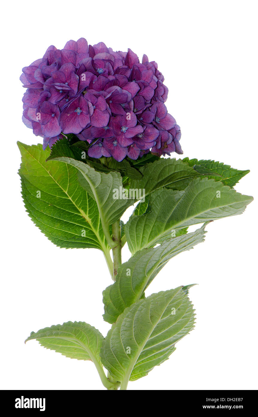 Lacecap Hydrangea (macrophylla normalis) isolated on white background. Stock Photo